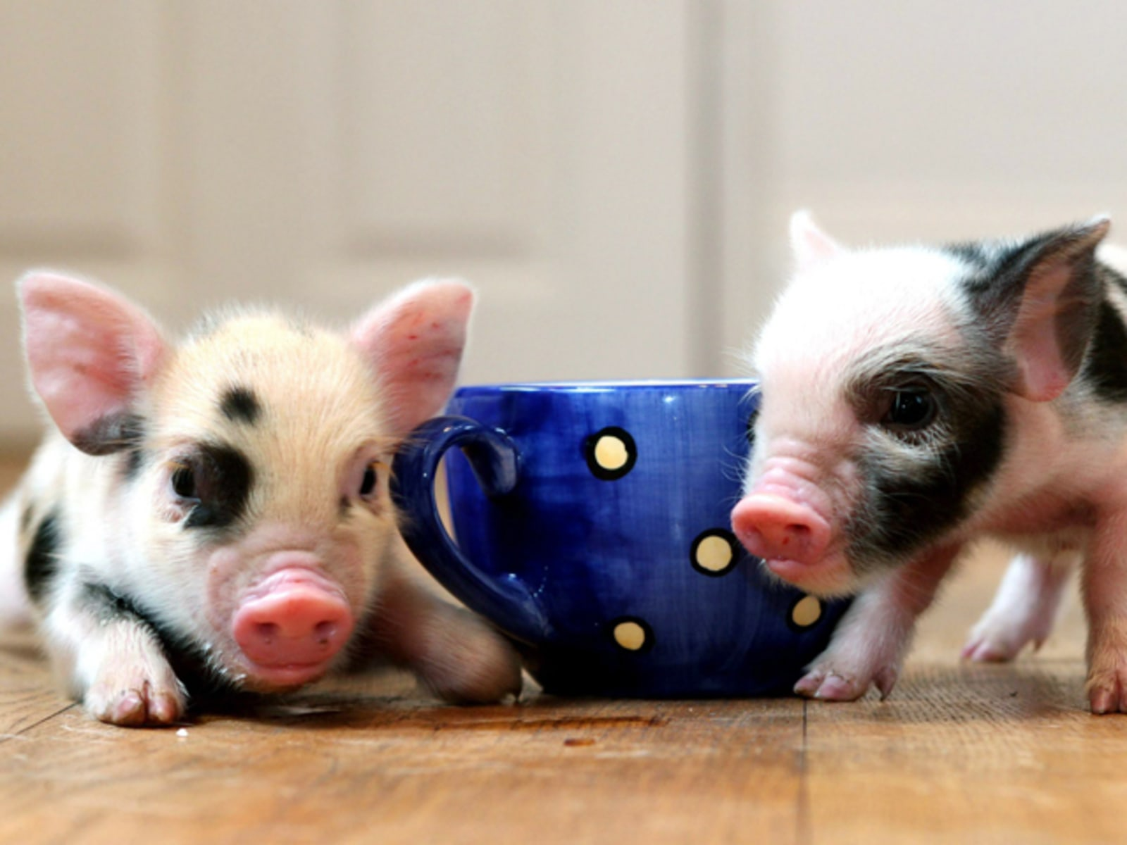 Image: Teacup pigs are new craze