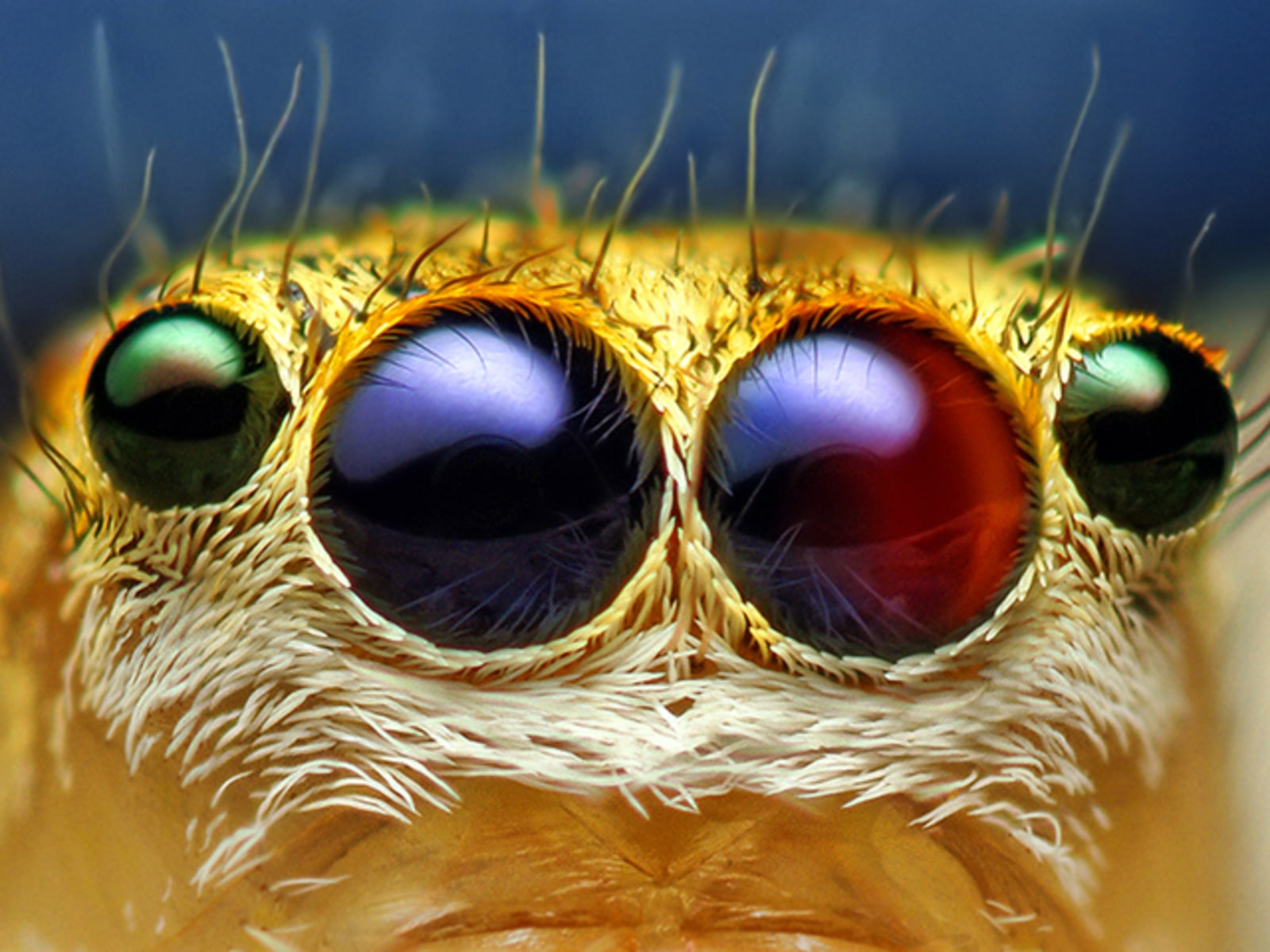 Image: Female Jumping Spider