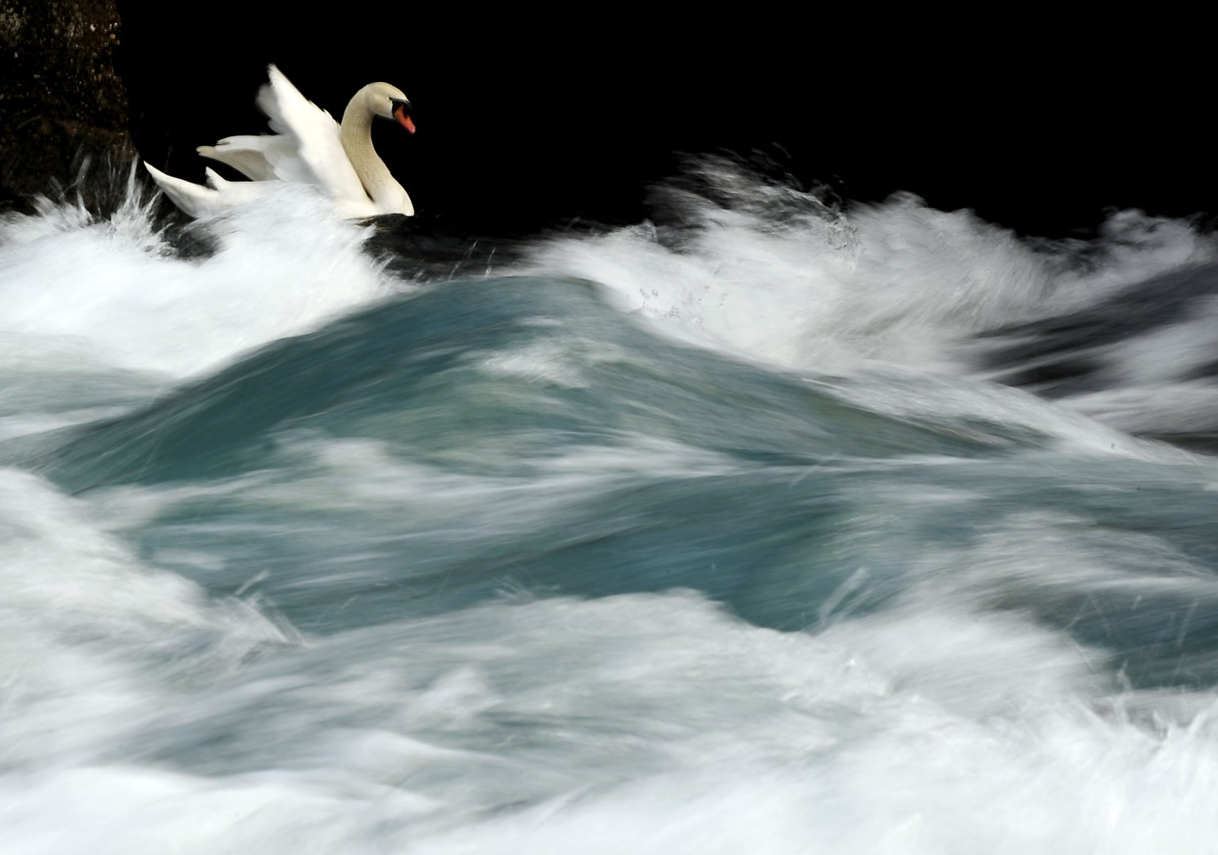 Image: Swan swims at the river mouth between the River Drim and Ohrid Lake in the city of Struga