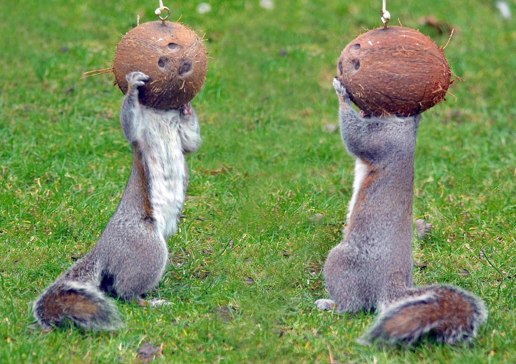 Image: Squirrels Nuts for Coconuts