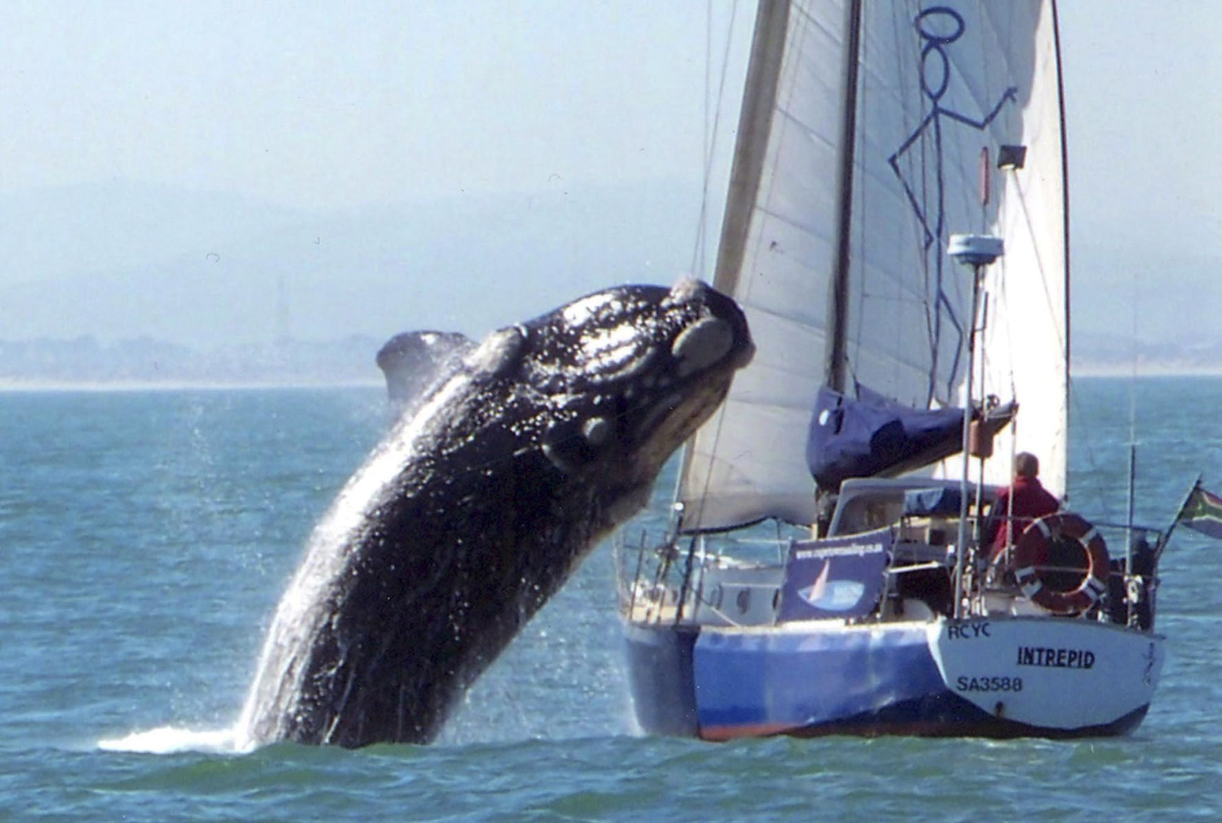 Image: Southern Right whale crashes into yacht in South Africa