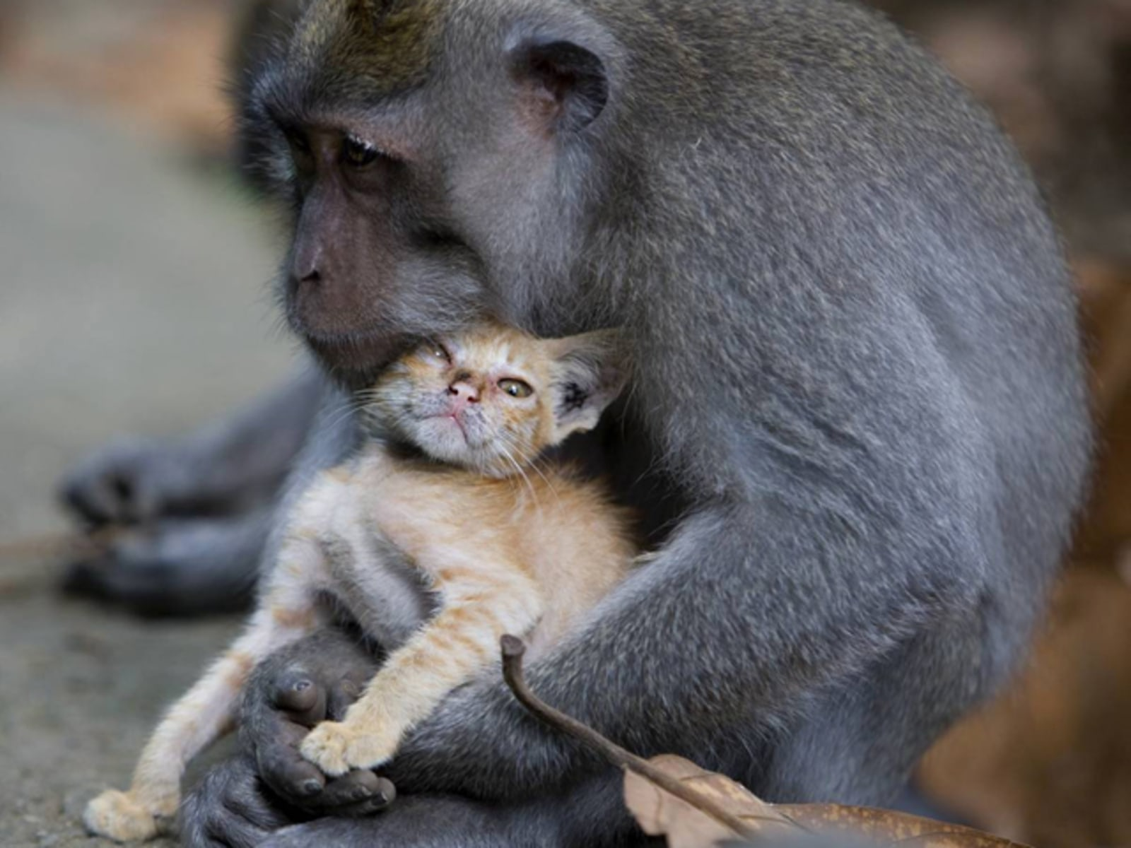 WILD MONKEY ADOPTS KITTEN