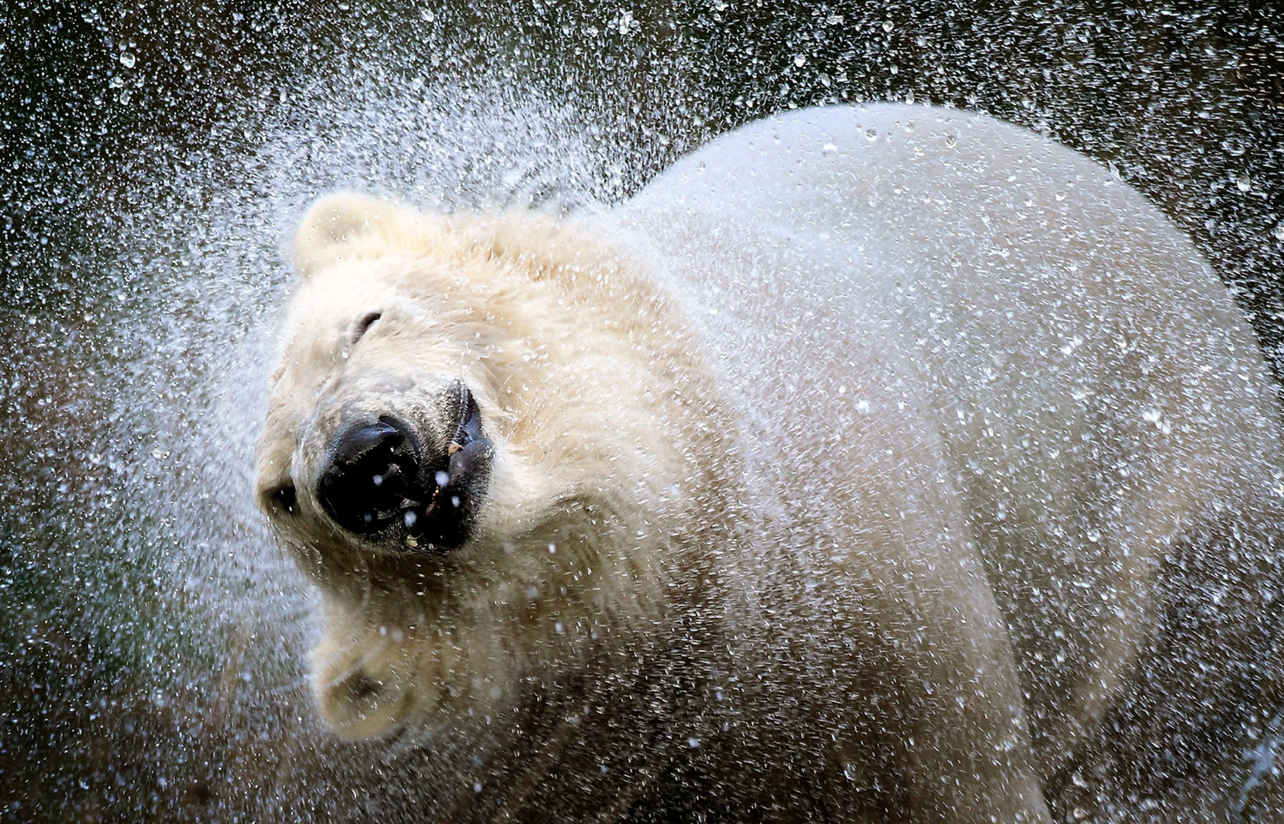 Image: The UK's Only Pair Of Polar Bears Are released Into Their 4 Acre Highland Home