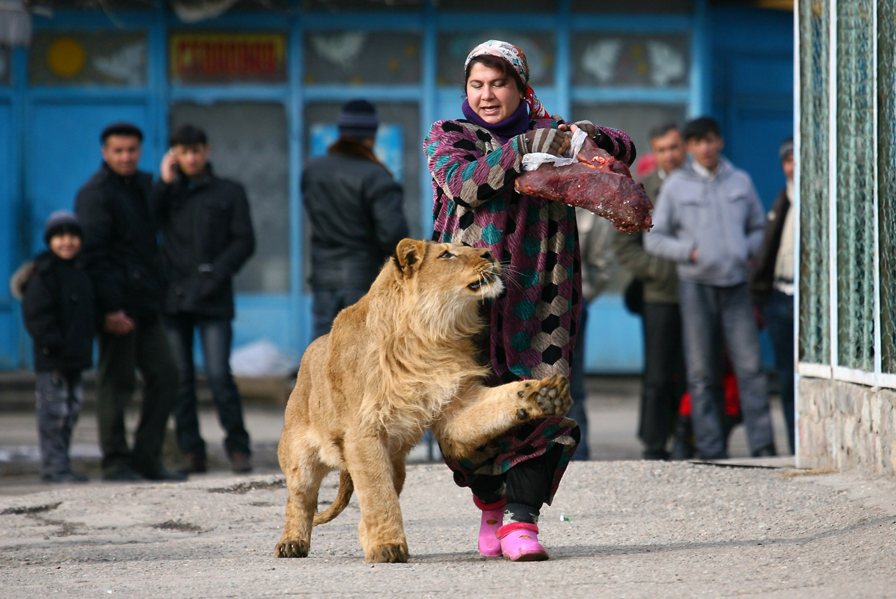 Image: Zukhro, an employee of the city zoo, walks with Vadik, a 18-month-old male lion, on the territory of the zoo in the capital Dushanbe