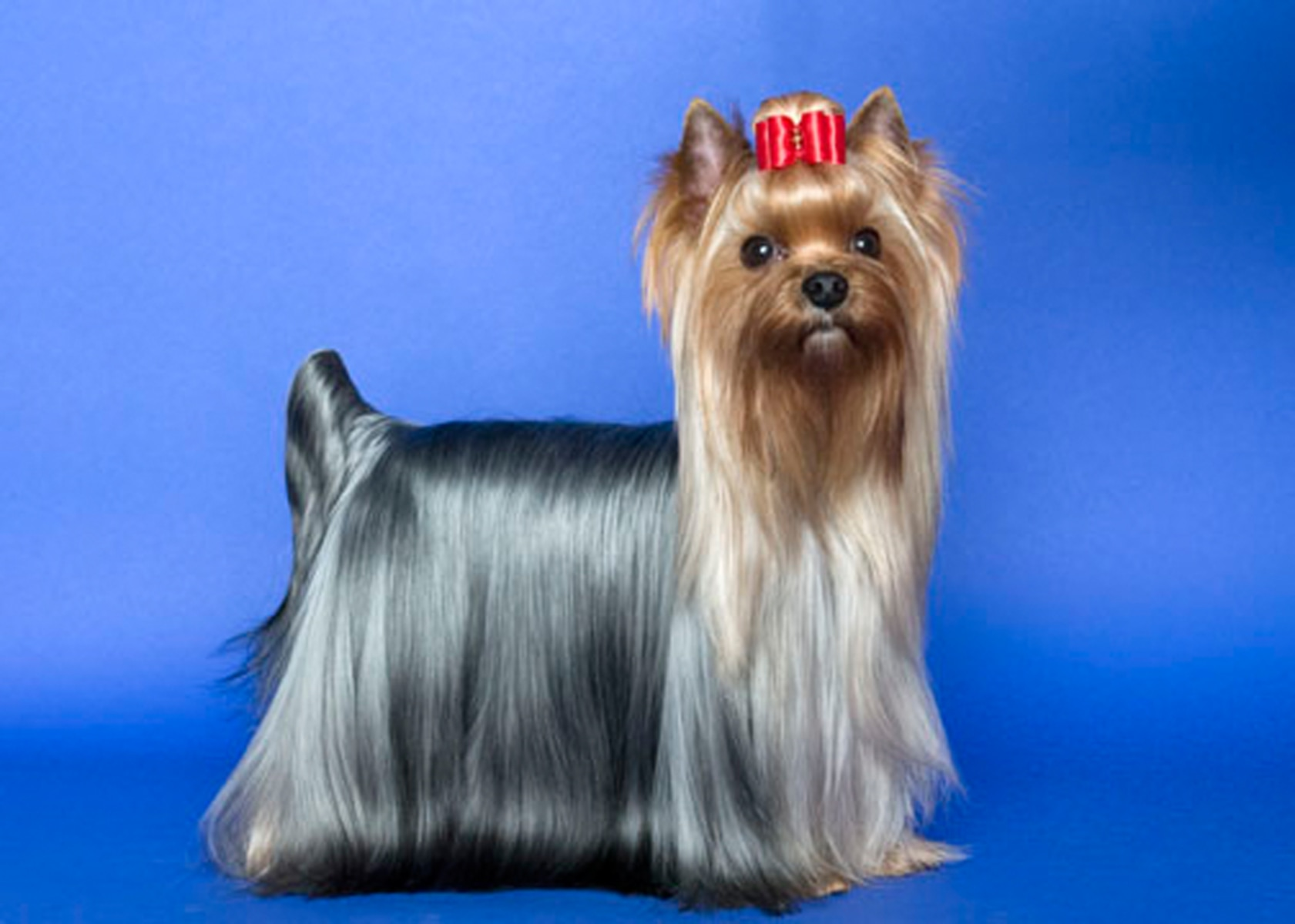 yorkshire terrier dog breeds bella bentley molly and max again top puppy names 3999