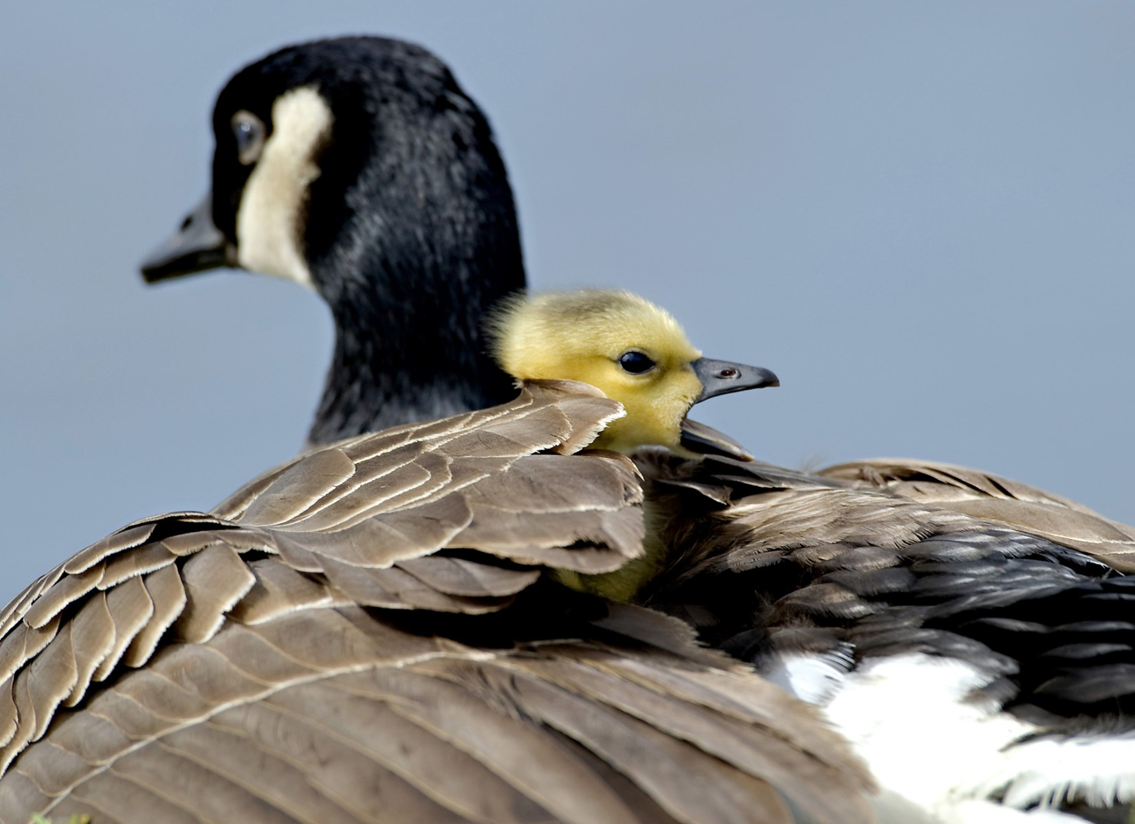 Image: A newly hatched wild Canada goose gosling yawns while snuggling in the feathers of its parent