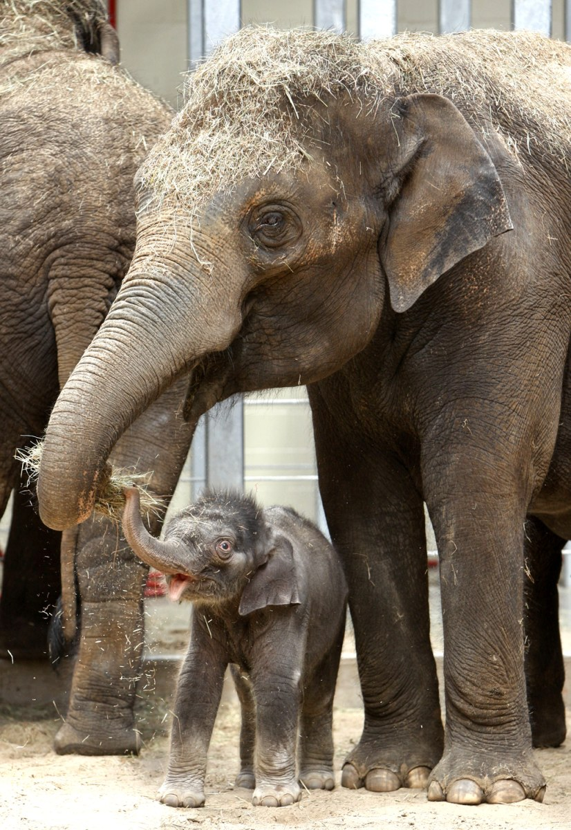 Image: An Asian elephant calf, born at the Oklahoma City Zoo in April is seen with her mother, Asha