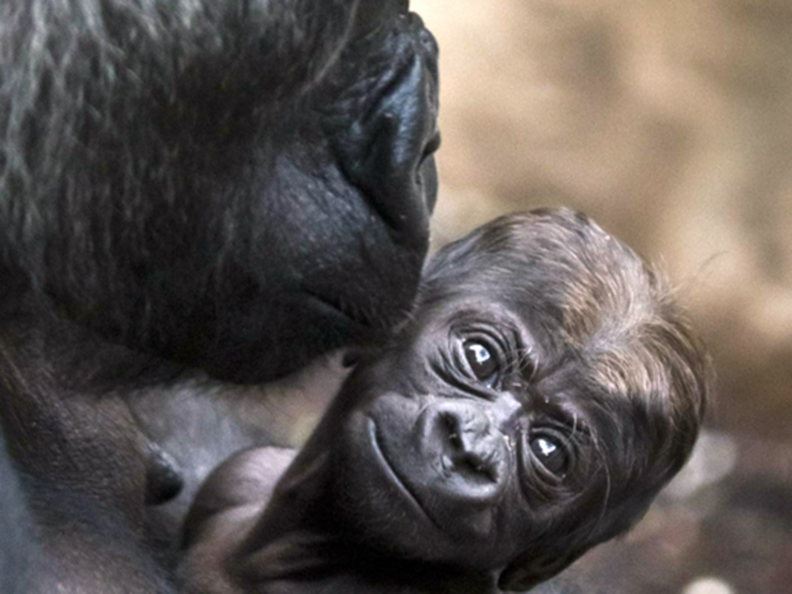 Image: Gorilla mother Dian holds her baby Quemb