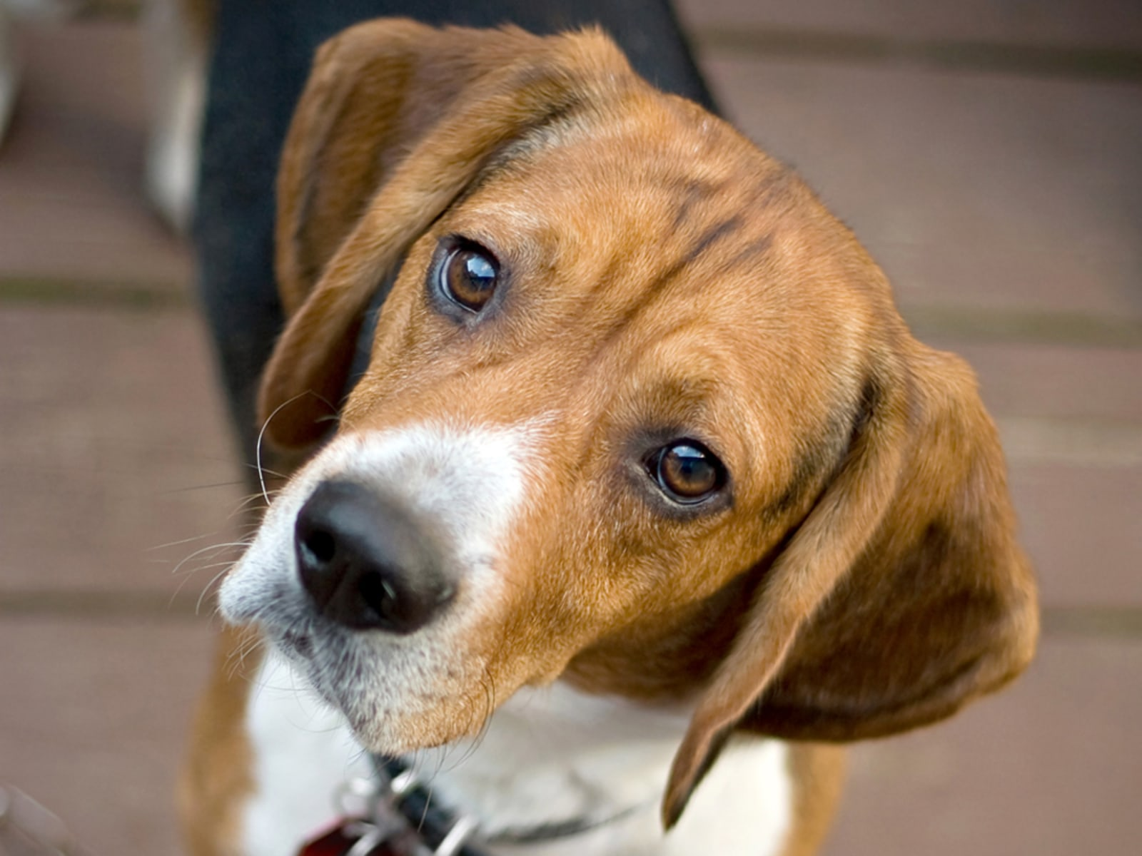 Image: A curious beagle