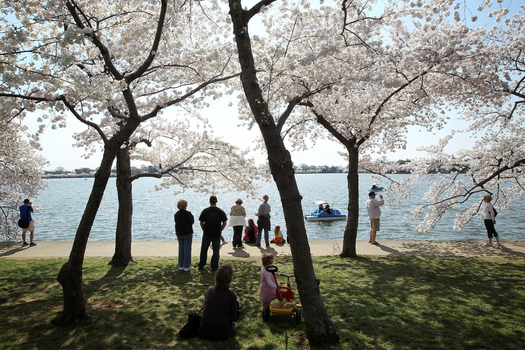 National Cherry Blossom Festival 39 S 100th Anniversary