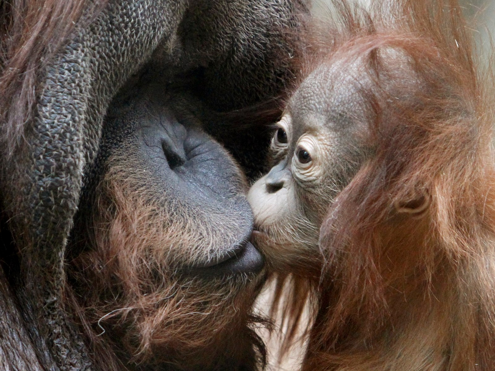 Image: Male Sumatran orangutan spends time with its cub inside their enclosure at city zoo in Moscow