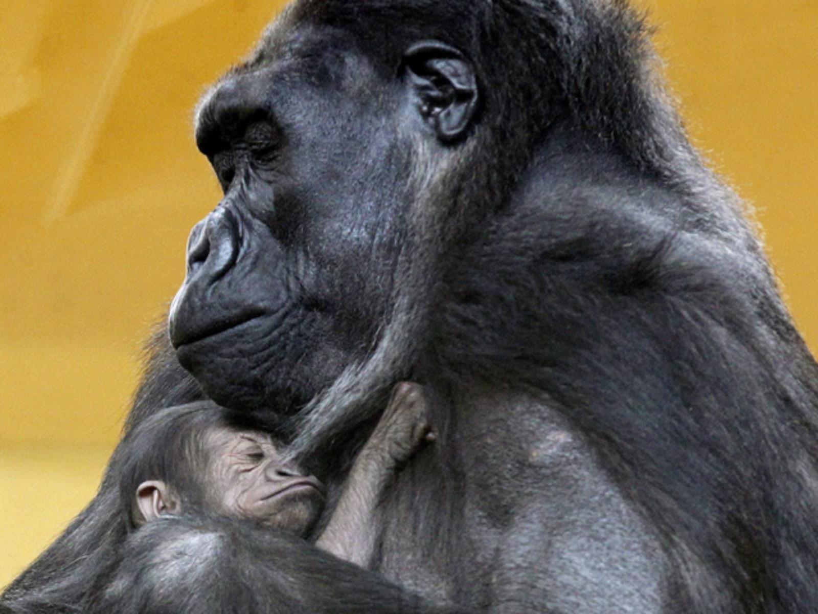 Image: FIRST GORILLA BORN AT CABARCENO PARK