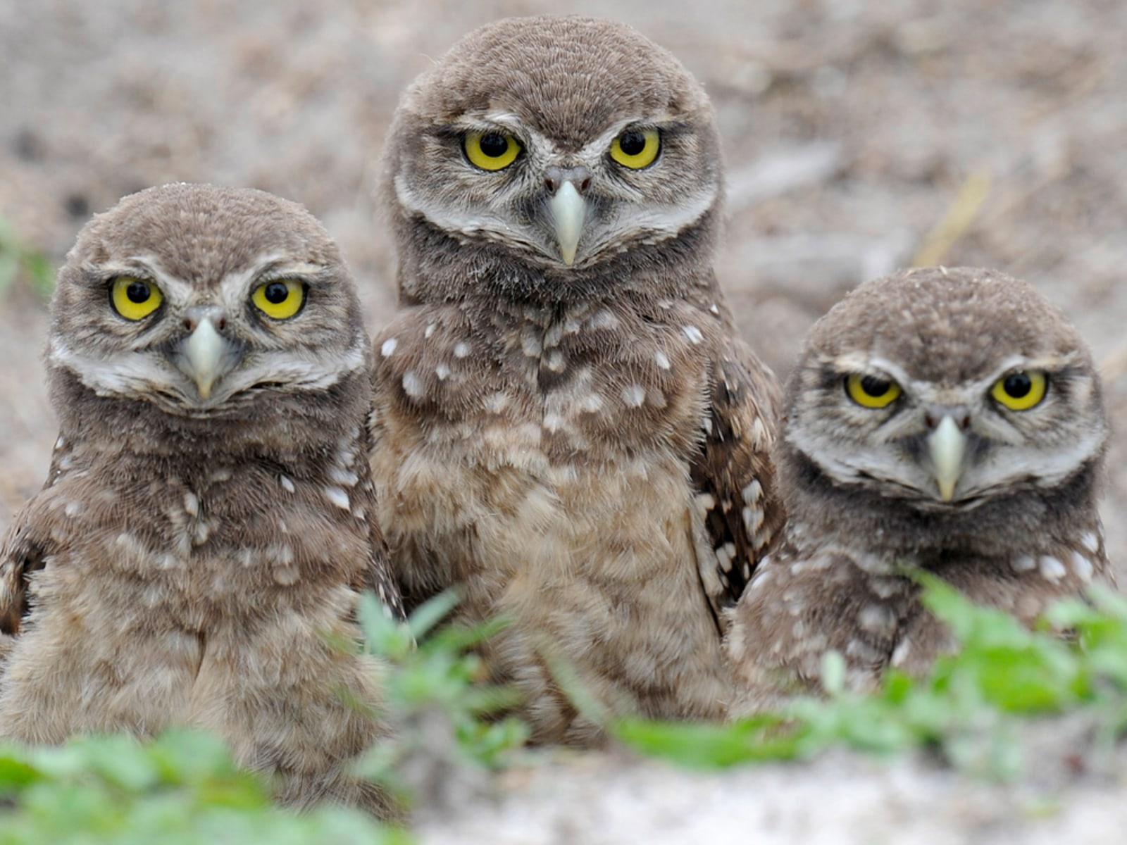 Image: Four-week-old Florida Burrowing Owlets stand in their nest at a local park in Miami