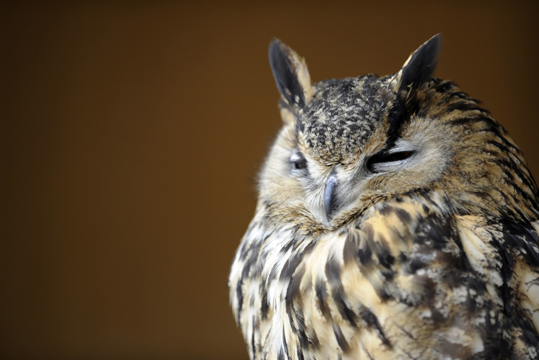 Image: An Eurasian eagle-owl is pictured at the