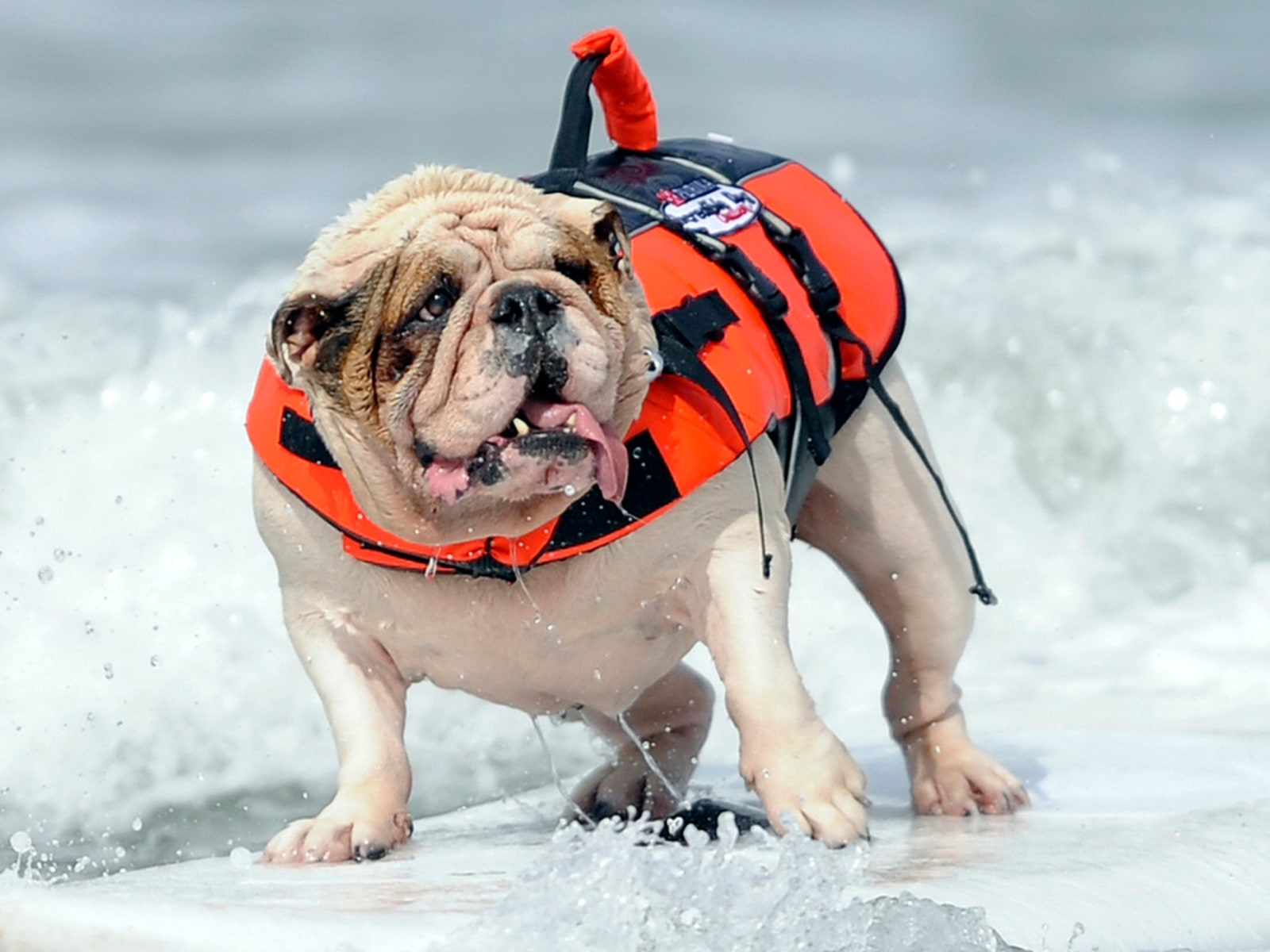 Image: Betsy, a seven-year-old English Bulldog, rides a wave during the surfing competition of the Purina Incredible Dog Challenge in San Diego