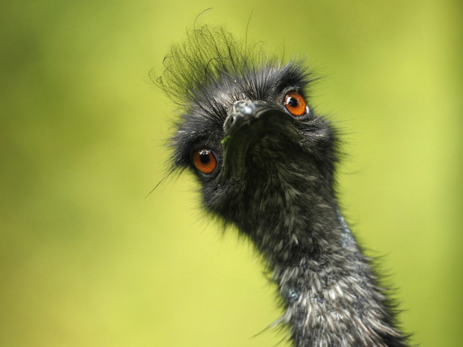 Image: An emu is pictured at its enclosure at the zoo in Duisburg