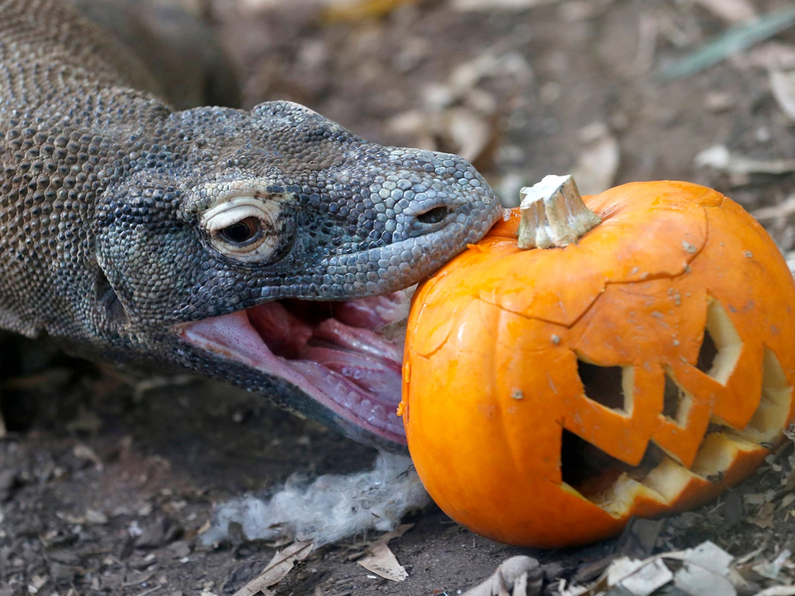 Image: Raja, a Komodo Dragon, bites a carved pumpkin during a Halloween-themed media event at the London Zoo