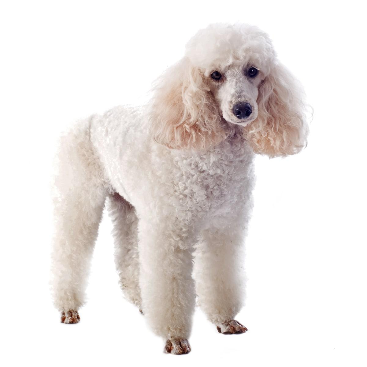 Dogs - Dog Information - Dog Breeds, Pictures]
