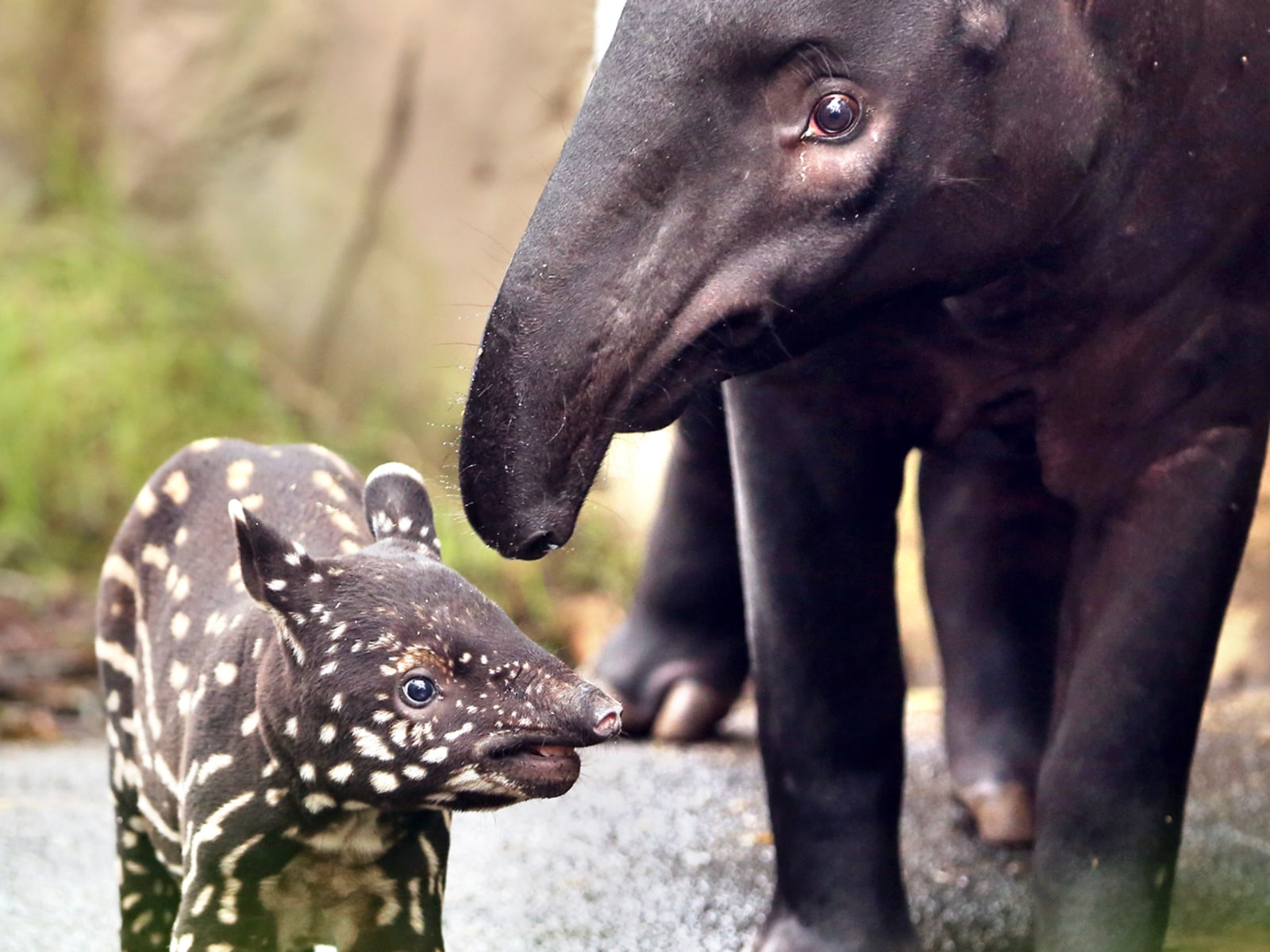 Image: GERMANY-ANIMALS-TAPIR