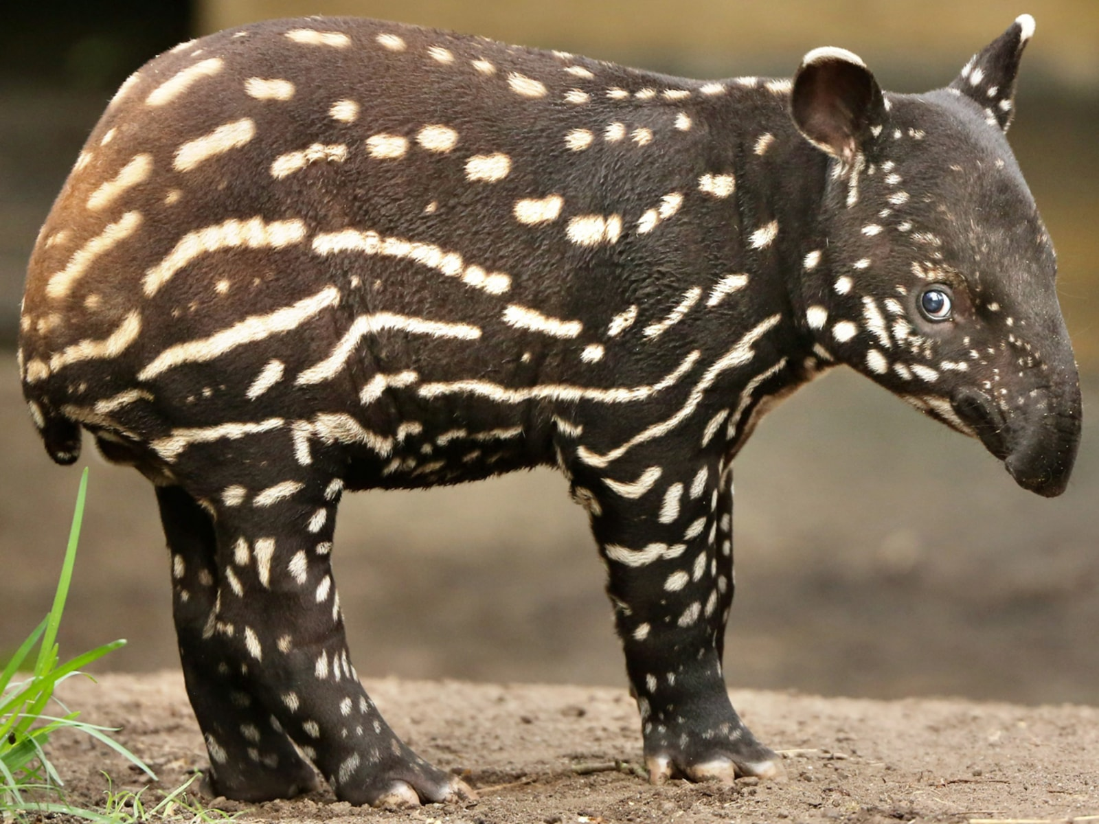 Image: Baby tapir is given the name Baru
