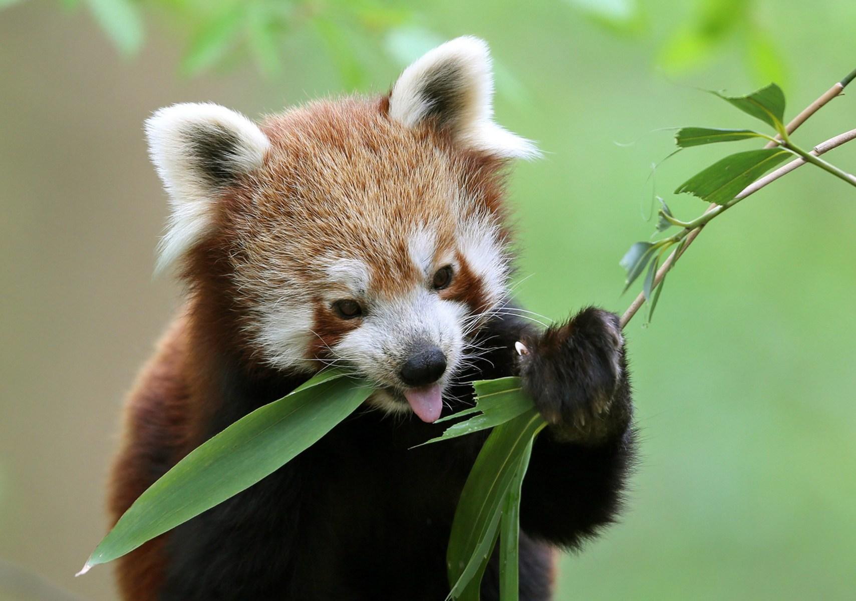 Cat Eats Bamboo