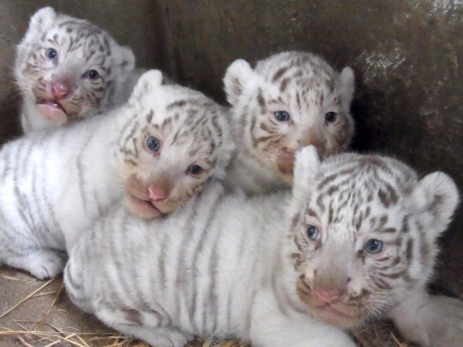 Image: White Tiger Cubs at Tobu Zoo Park