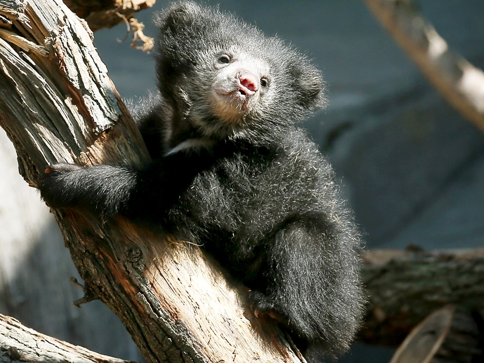Image: Sloth Bear Cubs Make Public Debut At Chicago's Brookfield Zoo