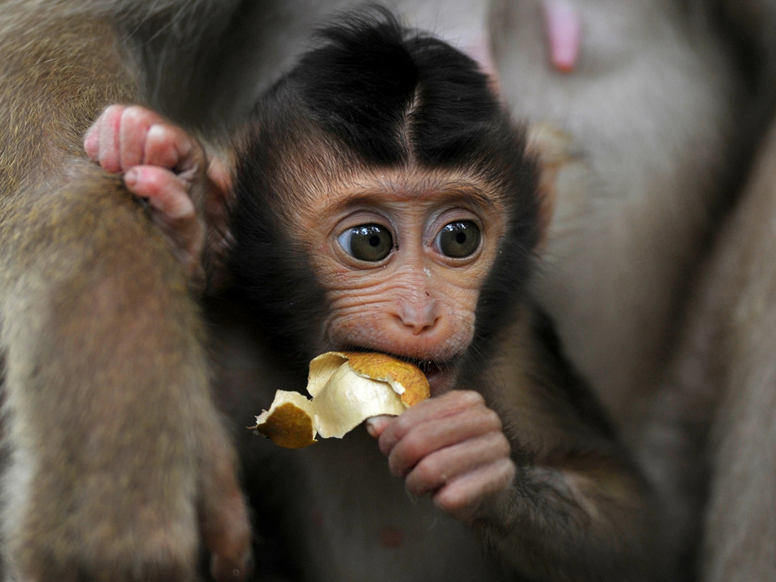 Image: MALAYSIA-ANIMAL-MONKEY