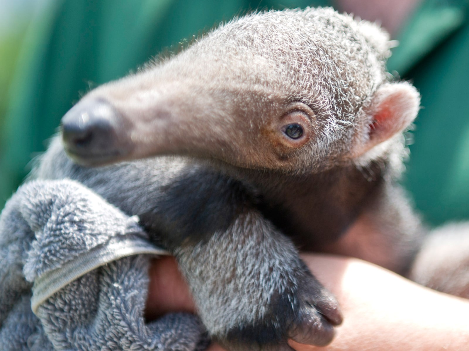 Image: GERMANY-ANIMALS-ANTEATER
