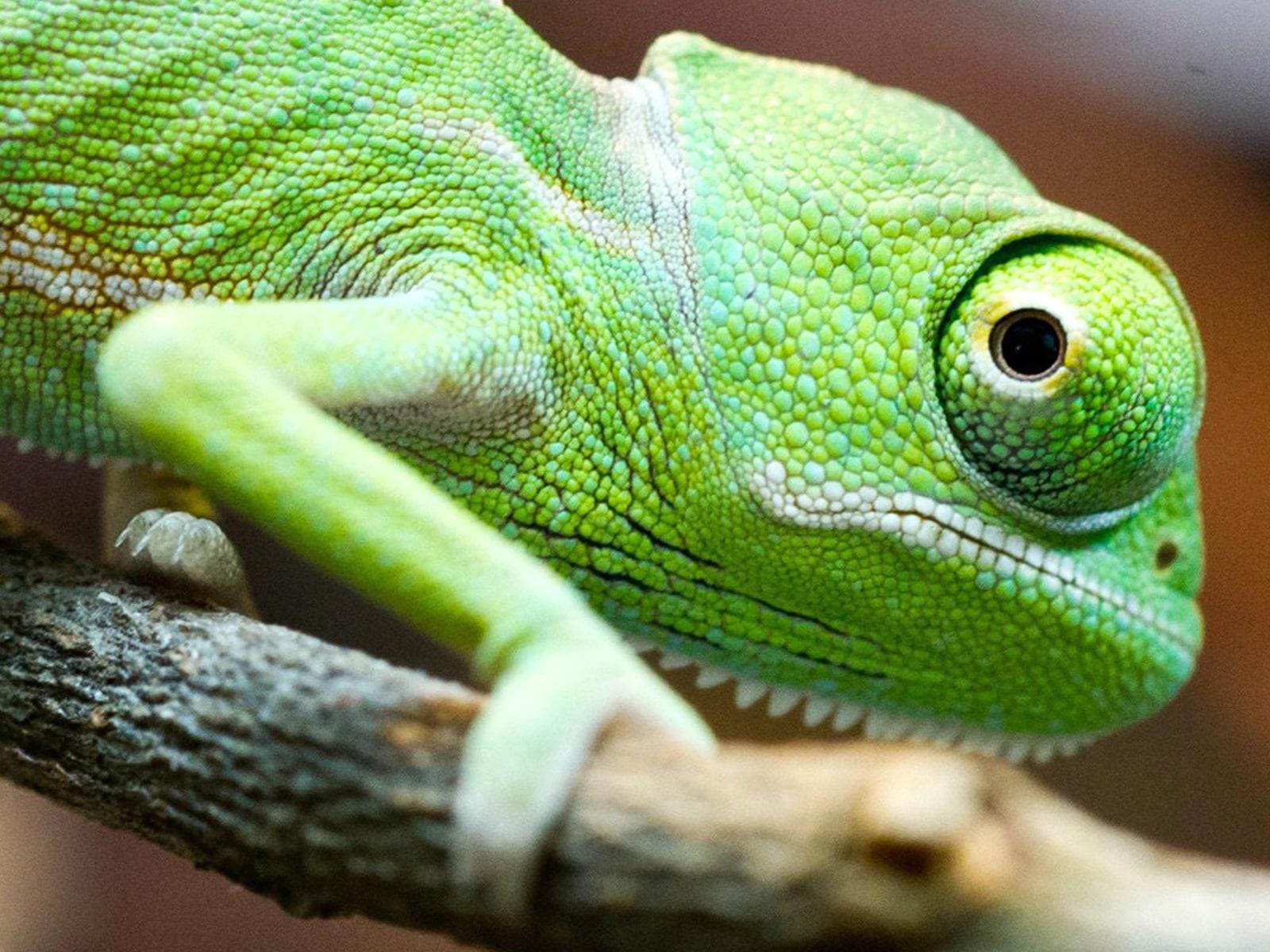 Image: Baby chameleon at Cottbus Zoo