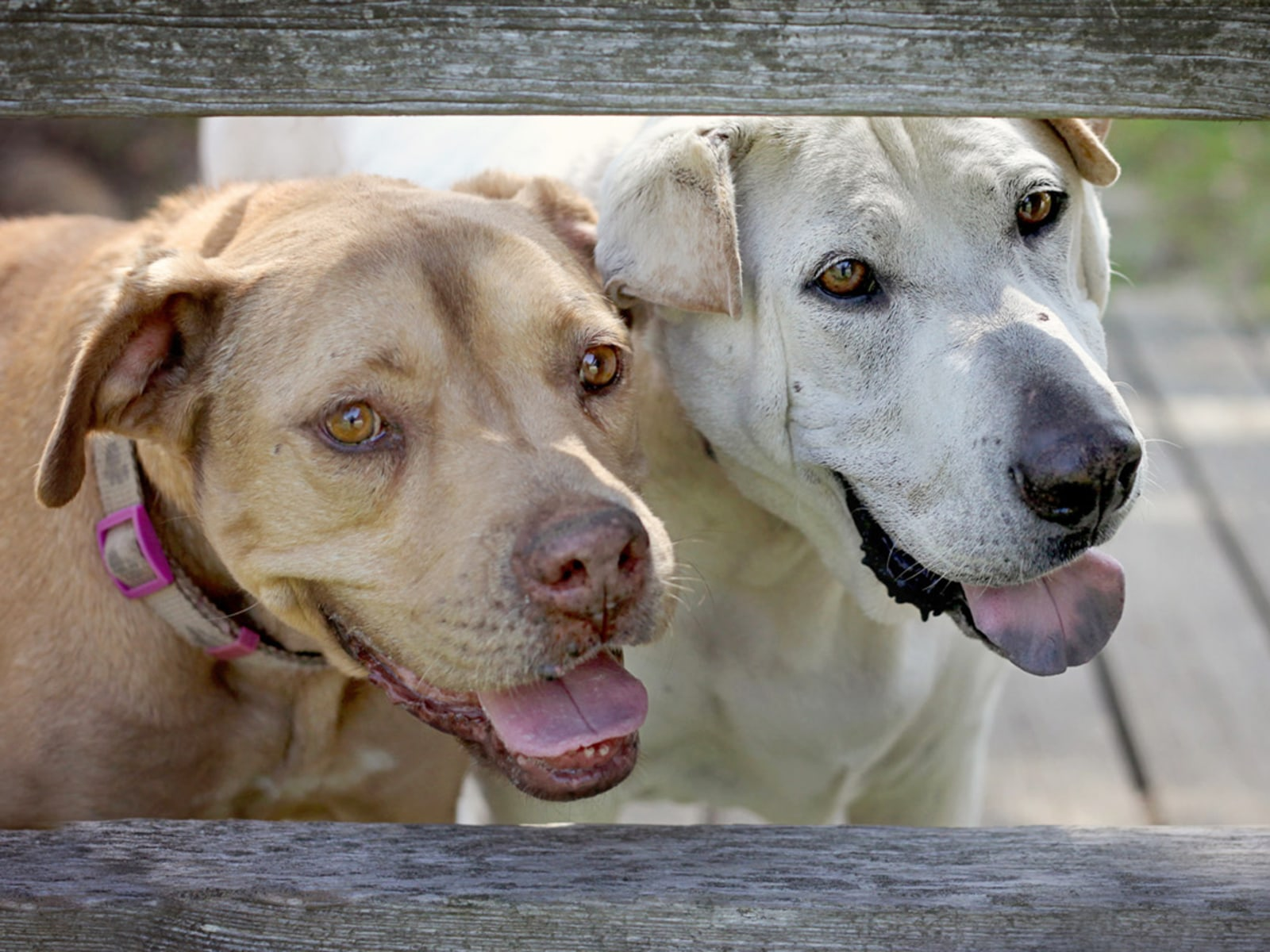 Dogs News -- ScienceDaily