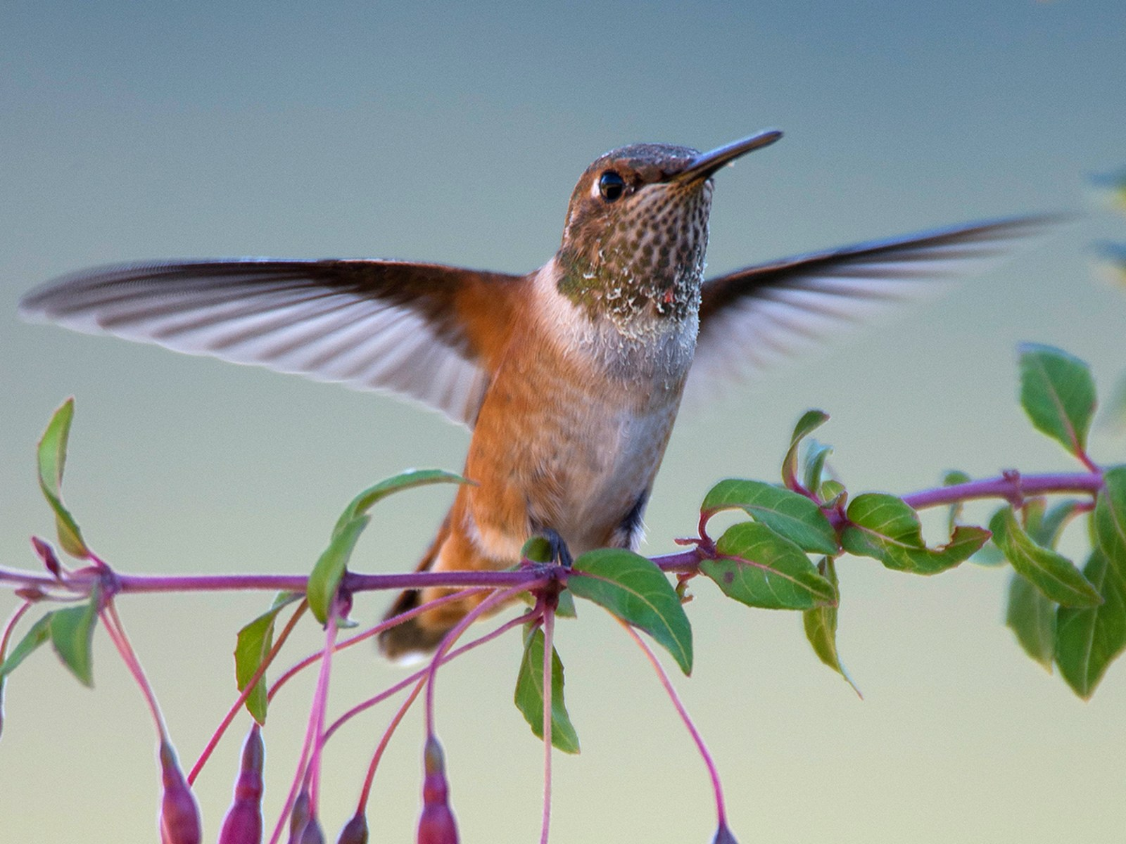 Image: Oregon Hummingbird