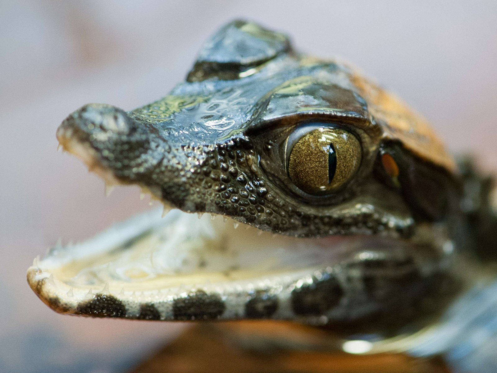 Image: GERMANY-ANIMALS-CAIMAN