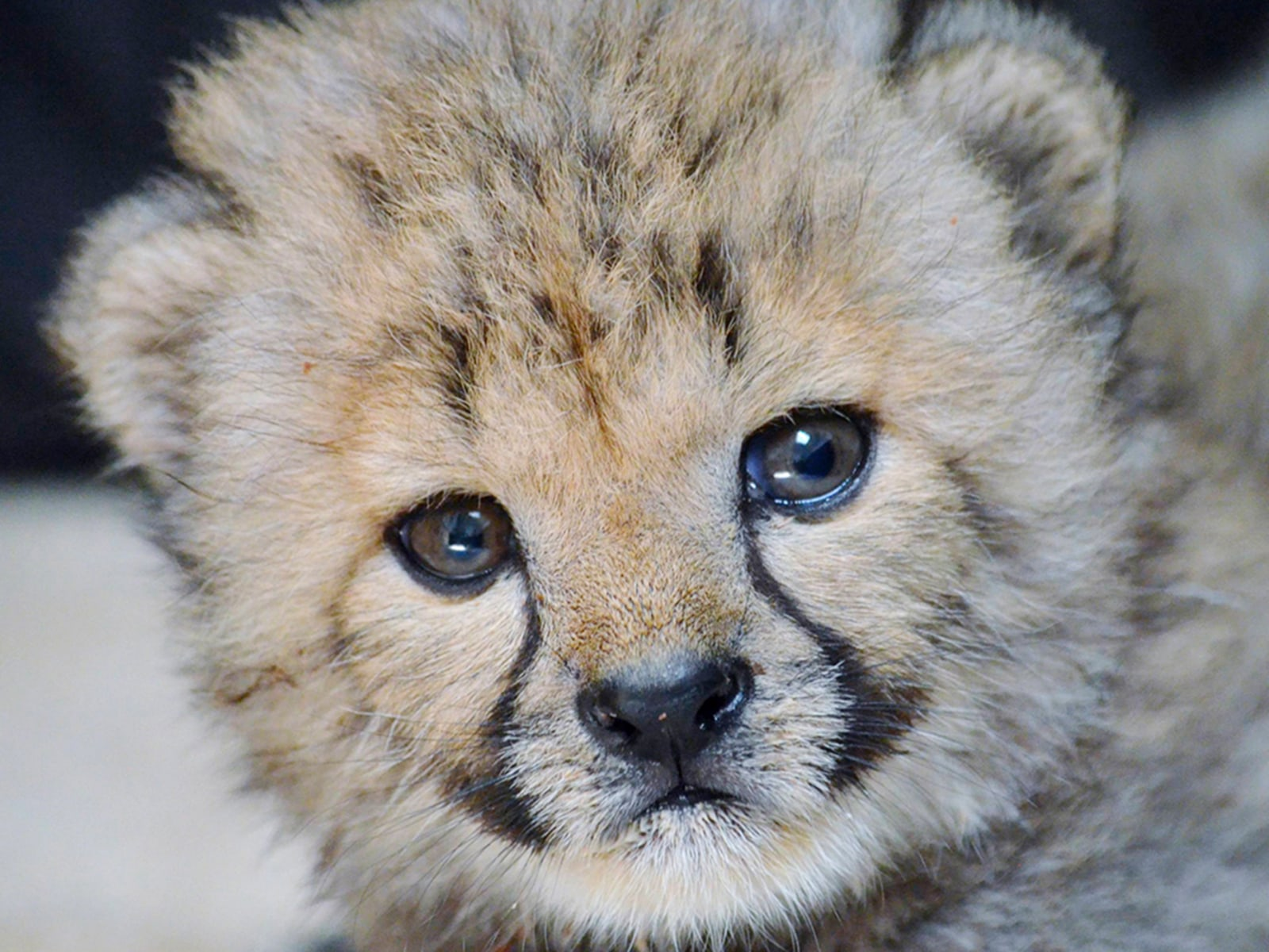 Image: A cheetah cub named Winspear is pictured in this undated handout photo courtesy of the Dallas Zoo
