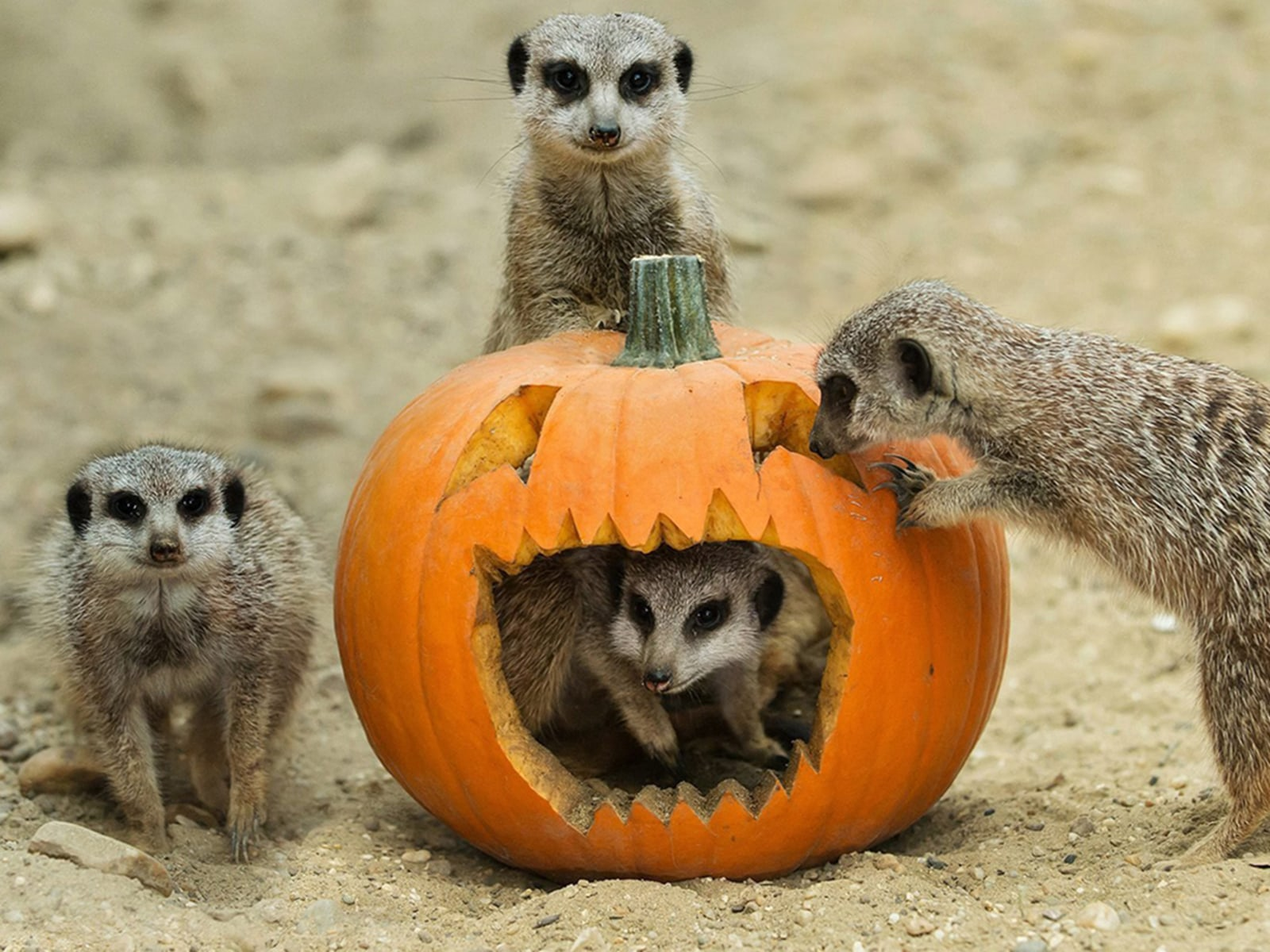 Oh My Gourd Adorable Zoo Animals Play With Halloween