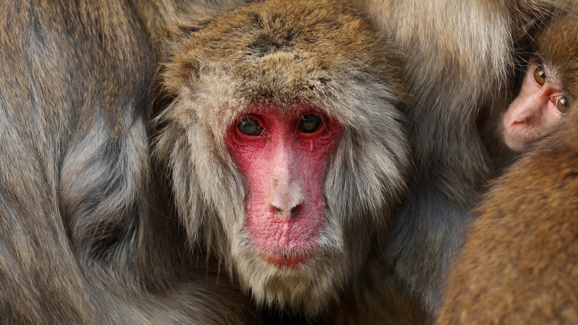 Image: *** BESTPIX *** Japanese Macaques Form Huddle To Keep Warm