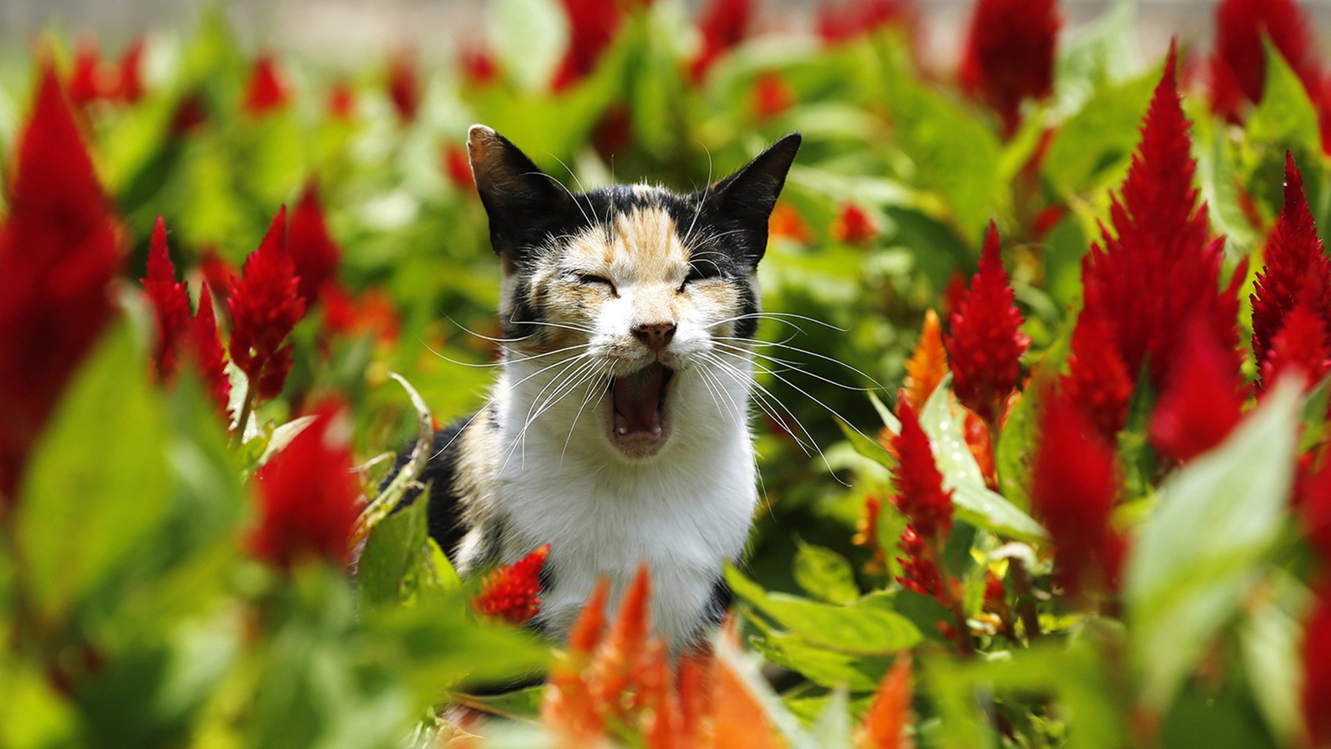 Image: A cat yawns at Kennedy Park in Miraflores district, in Lima