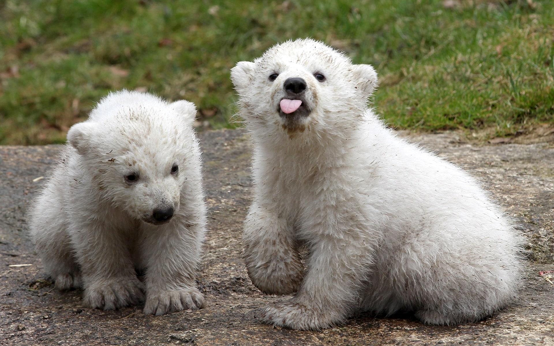 Baby animals photos baby animals ny daily news - Image Bestpix Munich Zoo Presents Twin Polar Bear Cubs