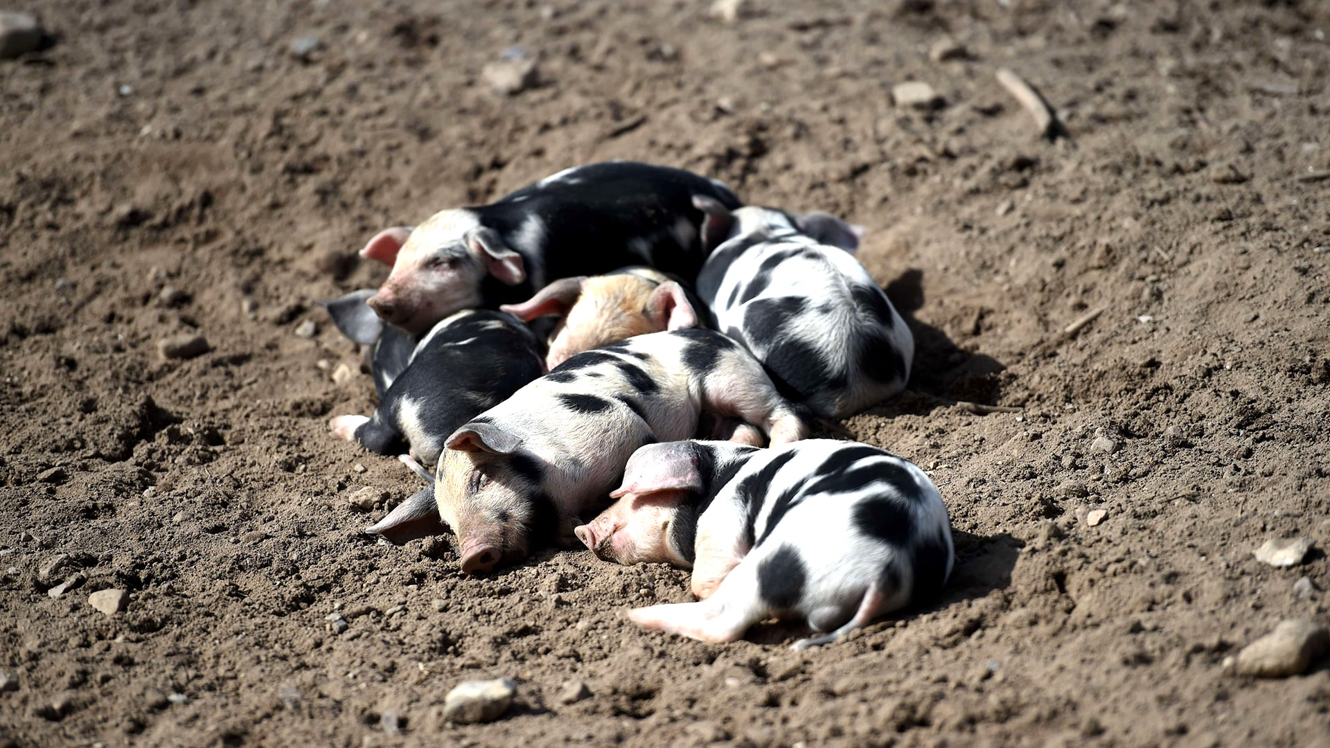 Image: GERMANY-ANIMALS-DOMESTIC-PIG