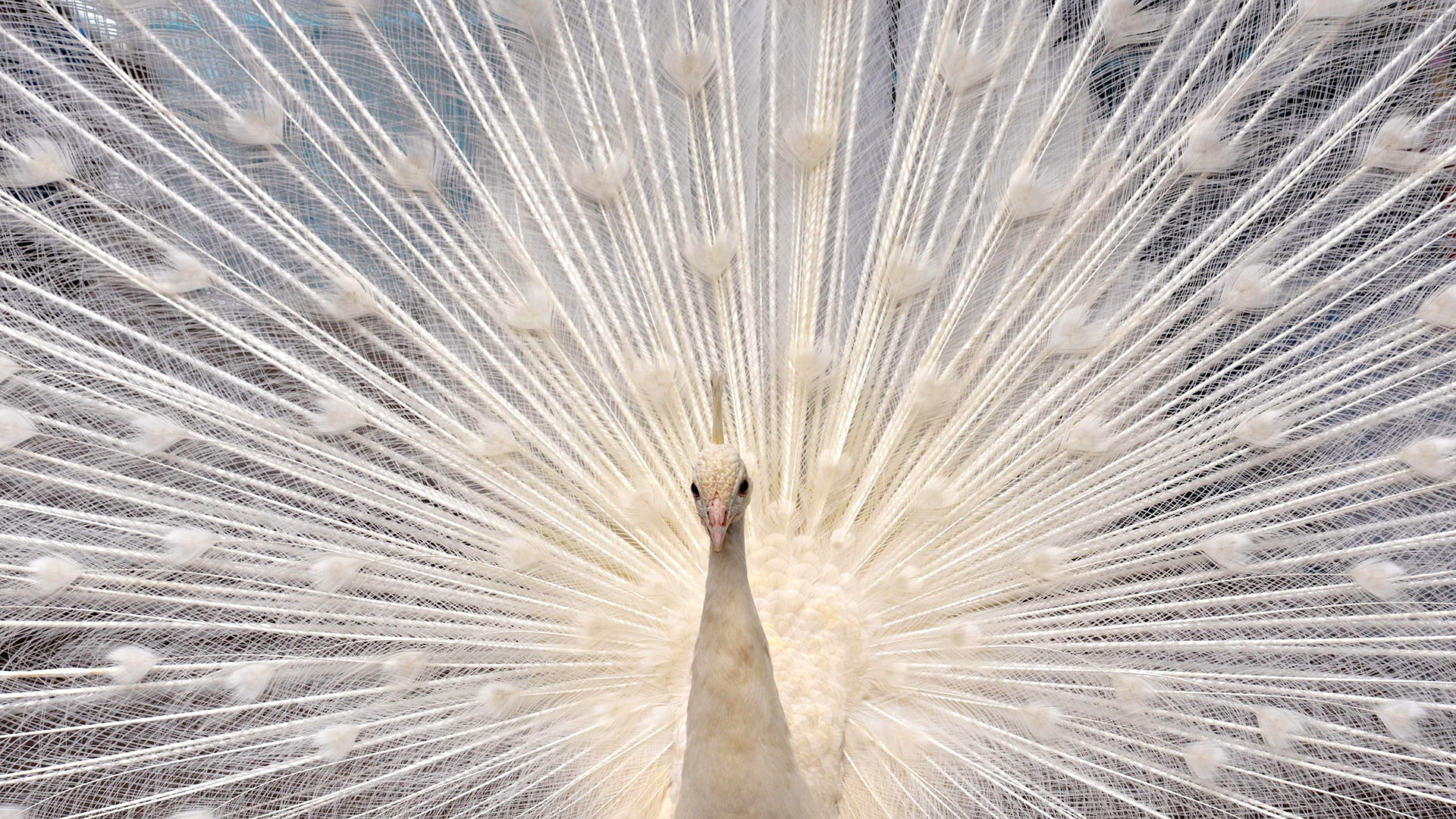 Image: TOPSHOTS-JAPAN-ANIMAL-PEACOCK
