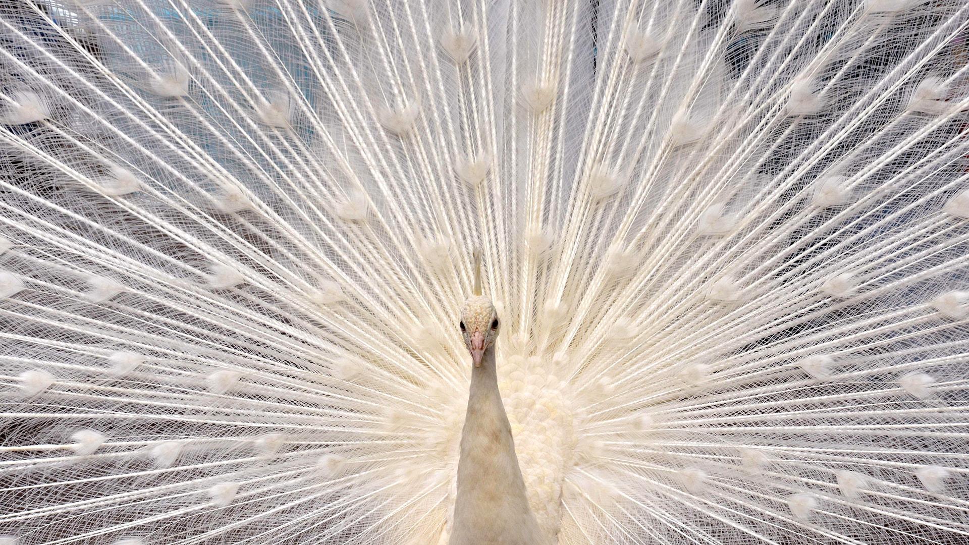 Image: TOPSHOTS-JAPAN-ANIMAL-PEACOCK