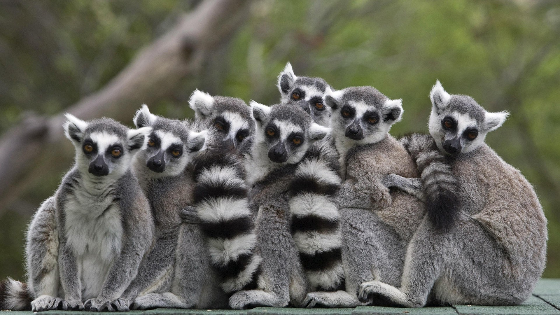 Image: File photo of ring-tailed lemurs standing together at the Haifa zoo