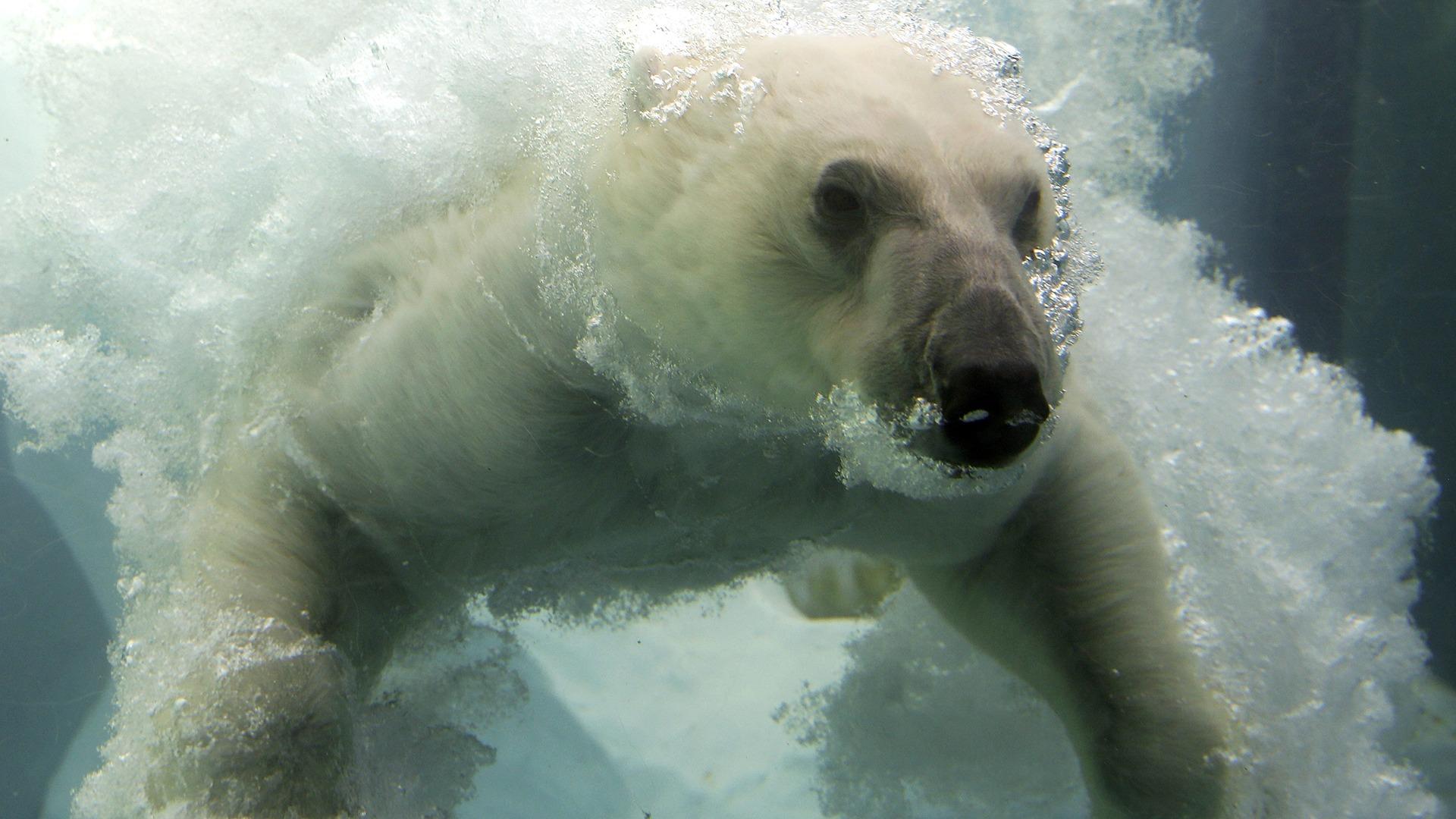 Image: Polar bear at Ueno Zoo