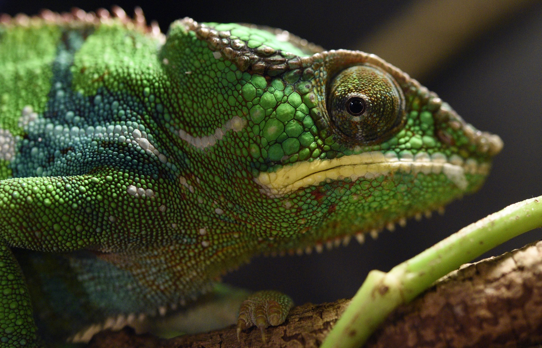 Image: Panther chameleon at the Ueno Zoological Gardens in Tokyo