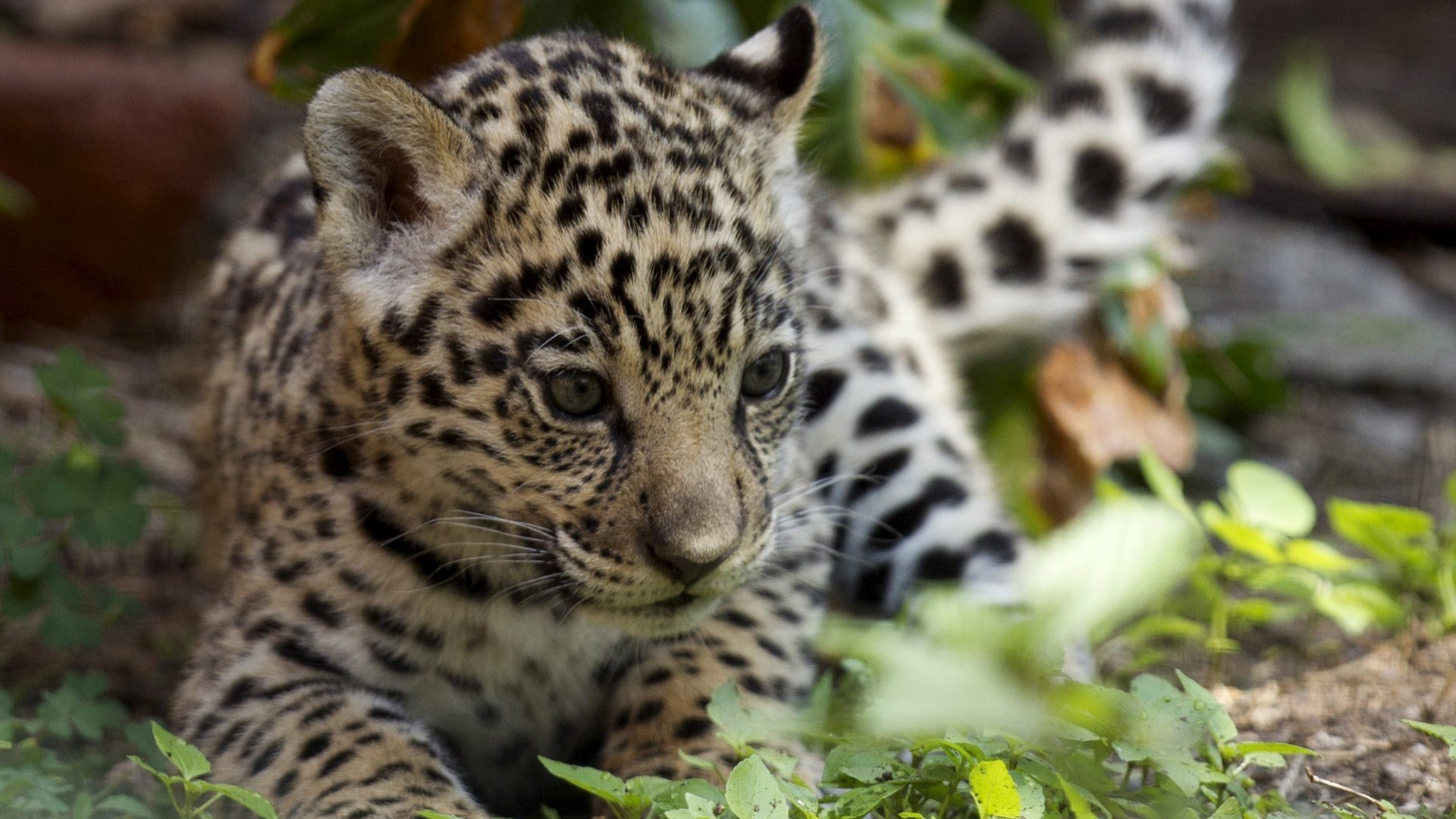 Image: A jaguar cub is pictured at the Quito Zoo in Guaylabamba