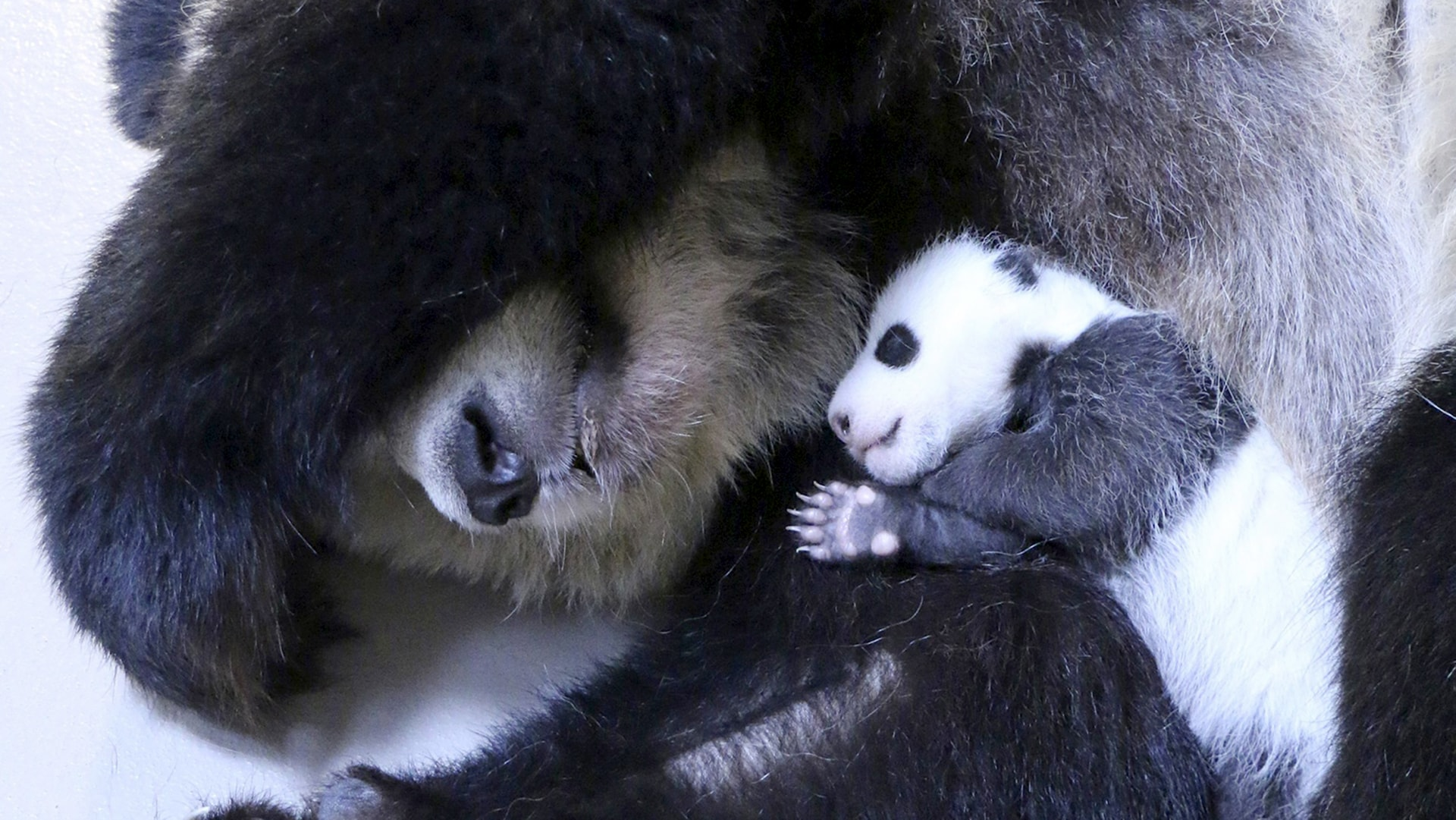 Image: Giant panda mother Er Shun holds one of her twin cubs in the maternity area of the Giant Panda Exhibit at the Toronto Zoo