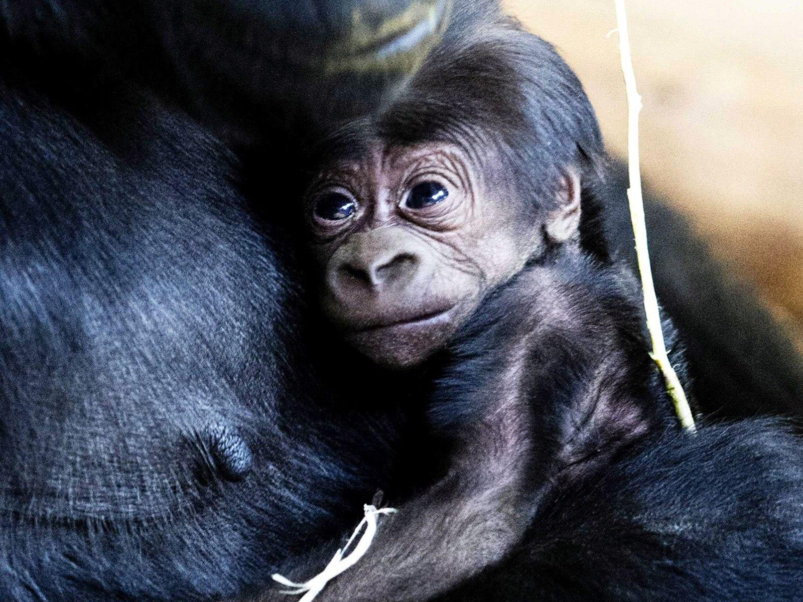 Image: Baby gorilla born at Arnhem zoo