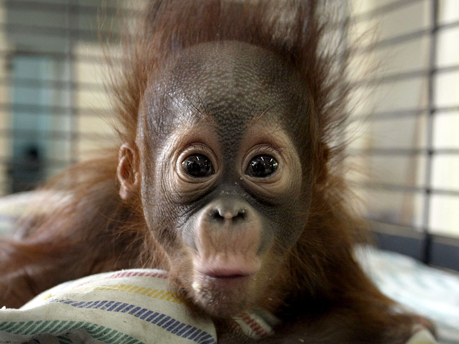 Image: INDONESIA-ORANGUTAN-DEATH-ENVIRONMENT