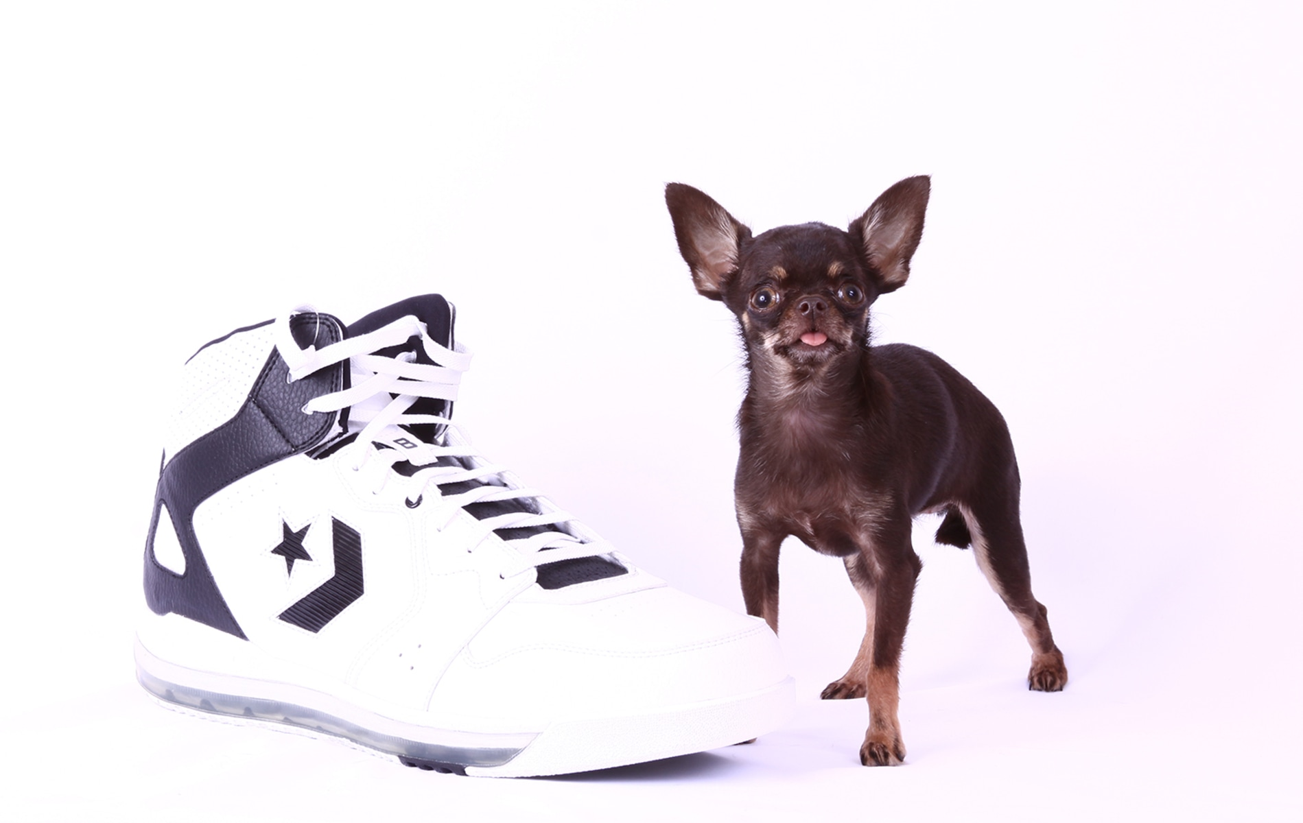 image the smallest dog living in terms of height is a female chihuahua