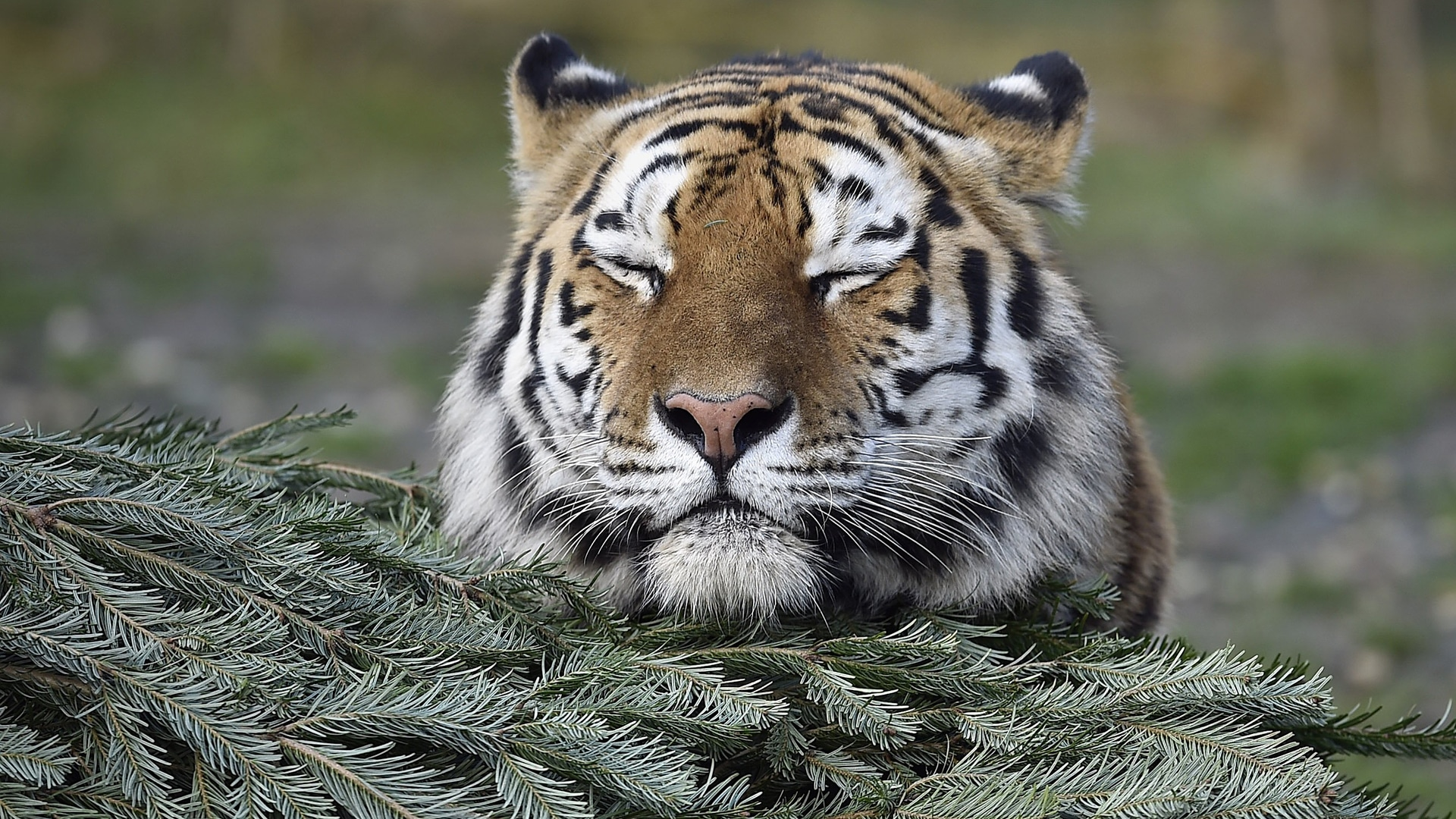 A tiger rests on a Christmas tree at the zoo in Gelsenkirchen, Germany, on the day before Christmas Eve December 23rd, 2015.